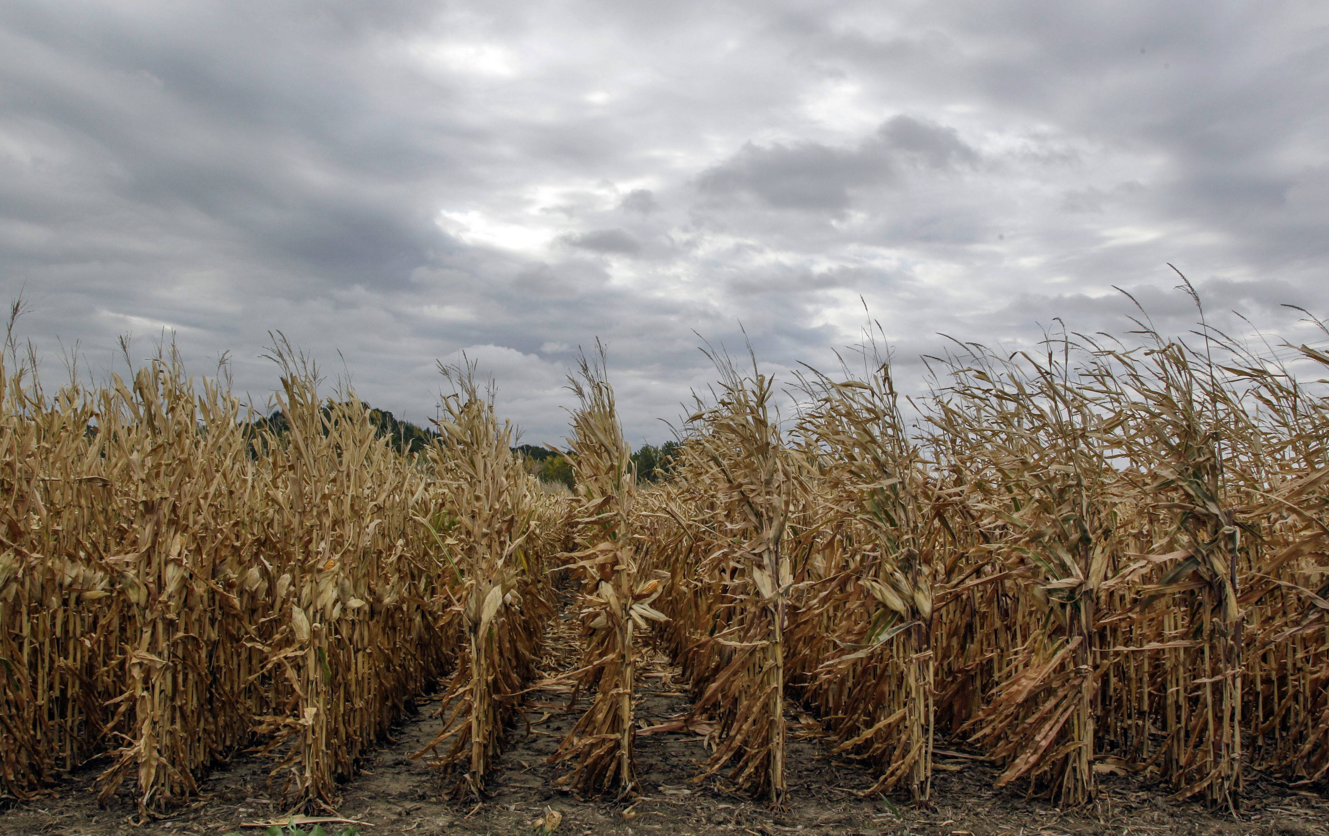 Farmers will produce a record-breaking corn harvest this year, surpassing earlier expectations of the U.S. Department of Agriculture, which has revised upward its estimate of this year's corn harvest to 14 billion bushels.