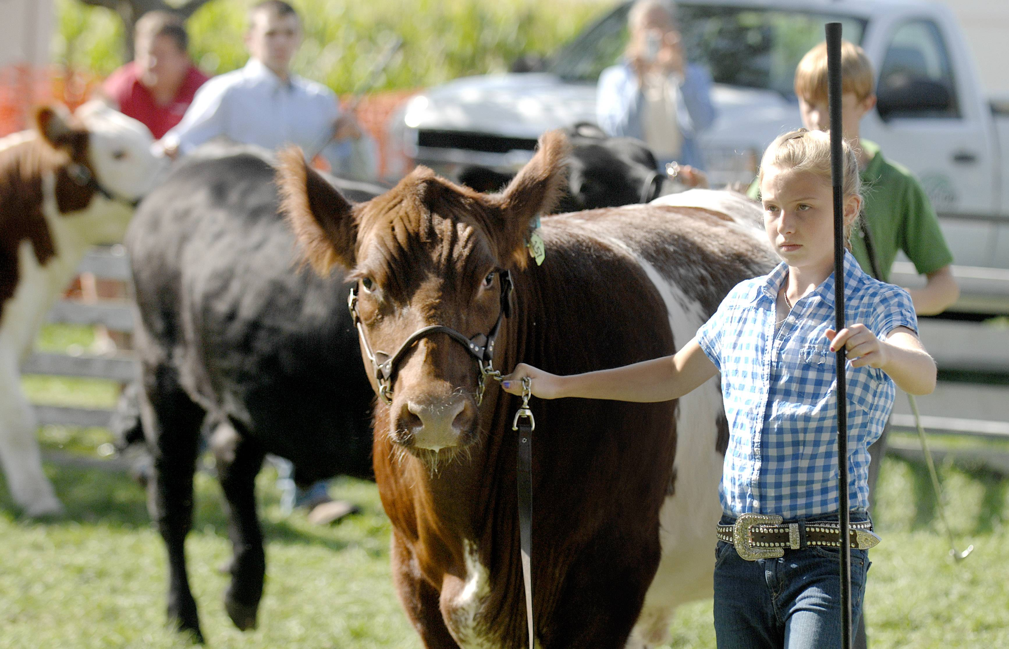 Megan Fidler, 12, of Sycamore leads her steer, Mason, in the lightweight category of the livestock judging at a previous Elburn Days. Fidler is a member of the Burlington Ag 4-H group.