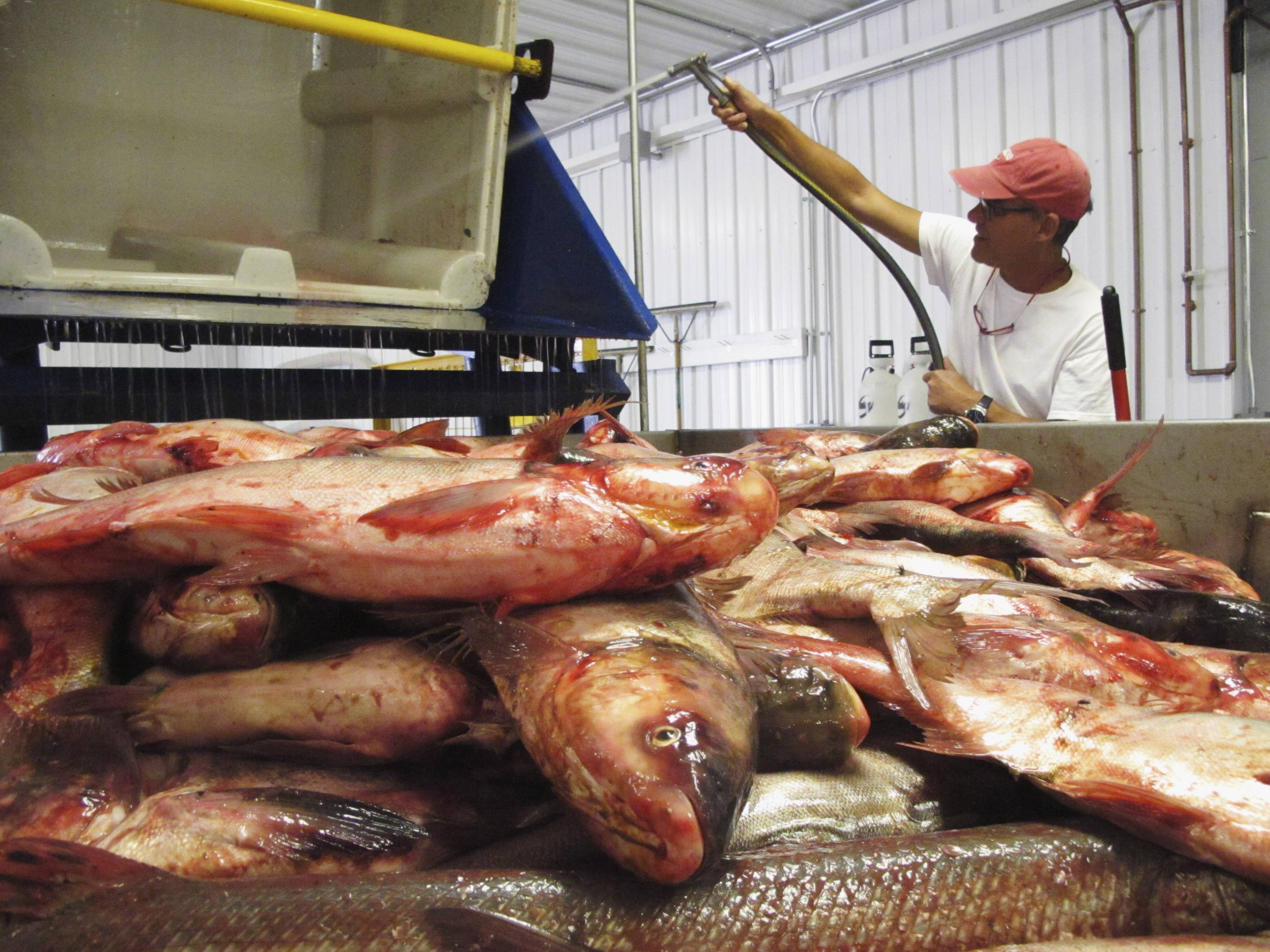 Plant manager Peter Allen flushes out a bin from which he had fed Asian carp onto a conveyer belt at the American Heartland Fish Products carp-processing plant near Grafton, Ill., north of St. Louis.