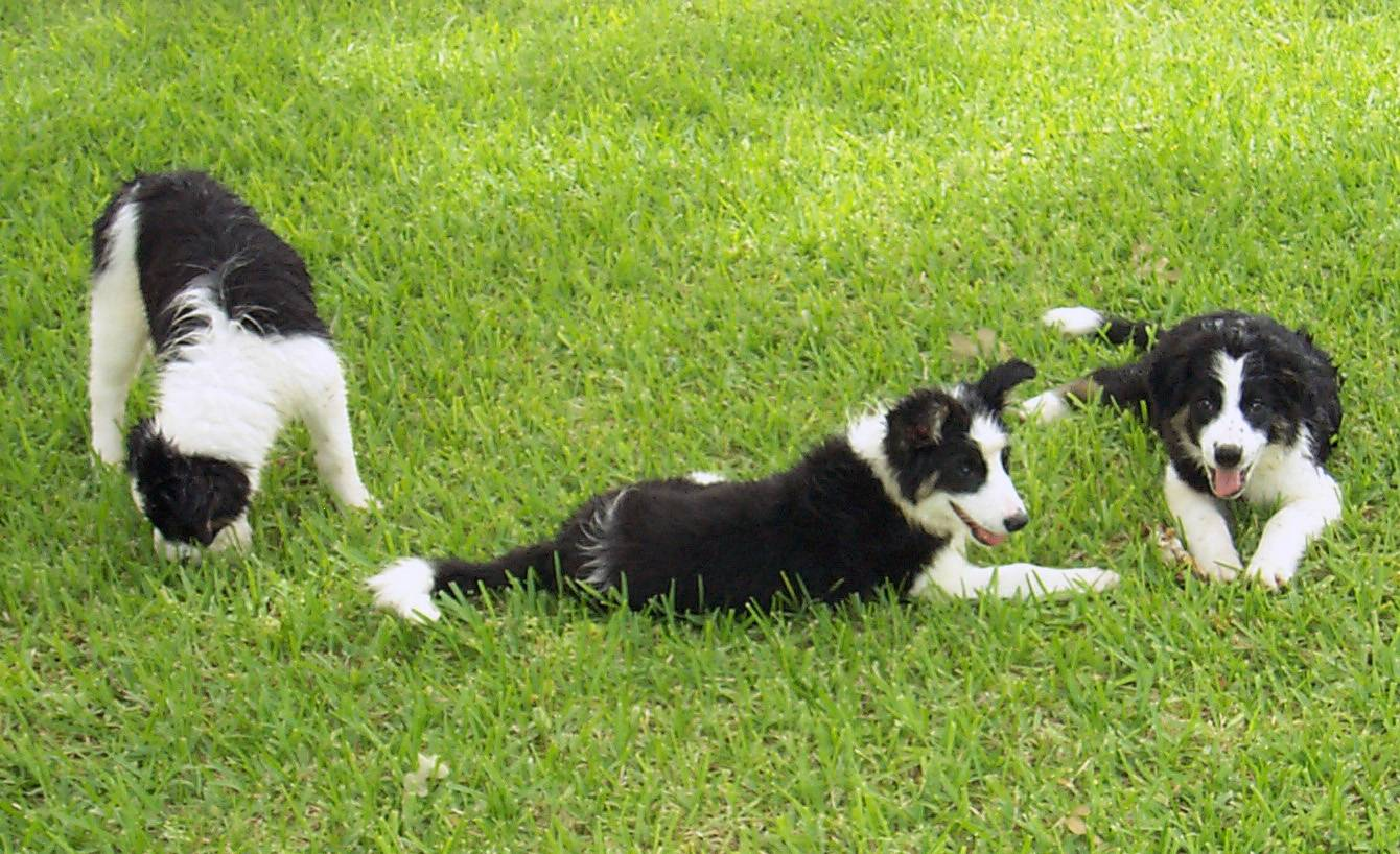 These three border collies inspired emotion researcher Christine Harris, a professor of psychology at the University of California-San Diego, to do a study on pet jealousy.