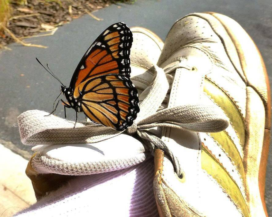 A Monarch butterfly lands on a man's shoe last week.