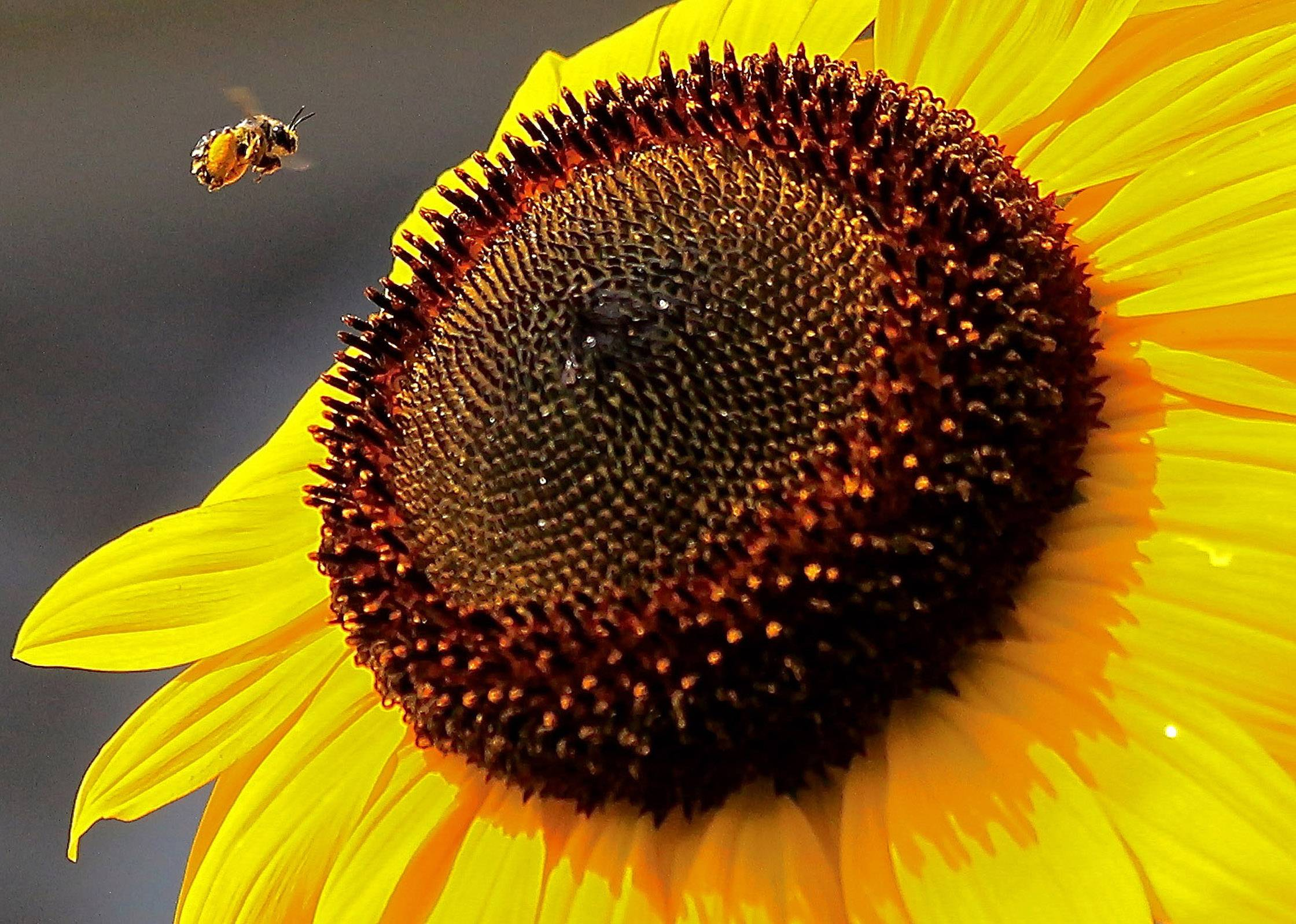 A honey bee heads for a sunflower in an Arlington Heights backyard.