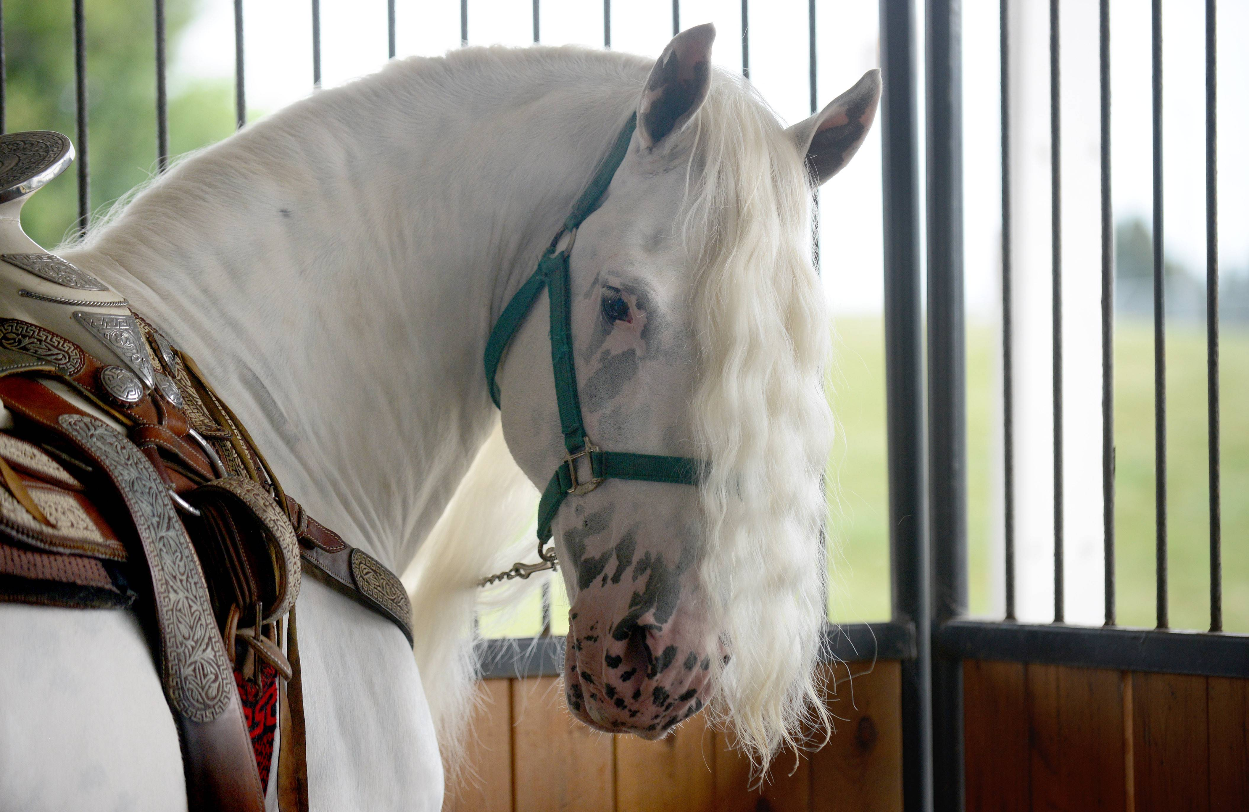 Mystic Warrior, a Fresian/Appaloosa mix horse waits to perform at the Festival of the Horse and Drum in St. Charles on Saturday. The rare white horse with black dappling is owned by Joe Trujillo of Wayne.