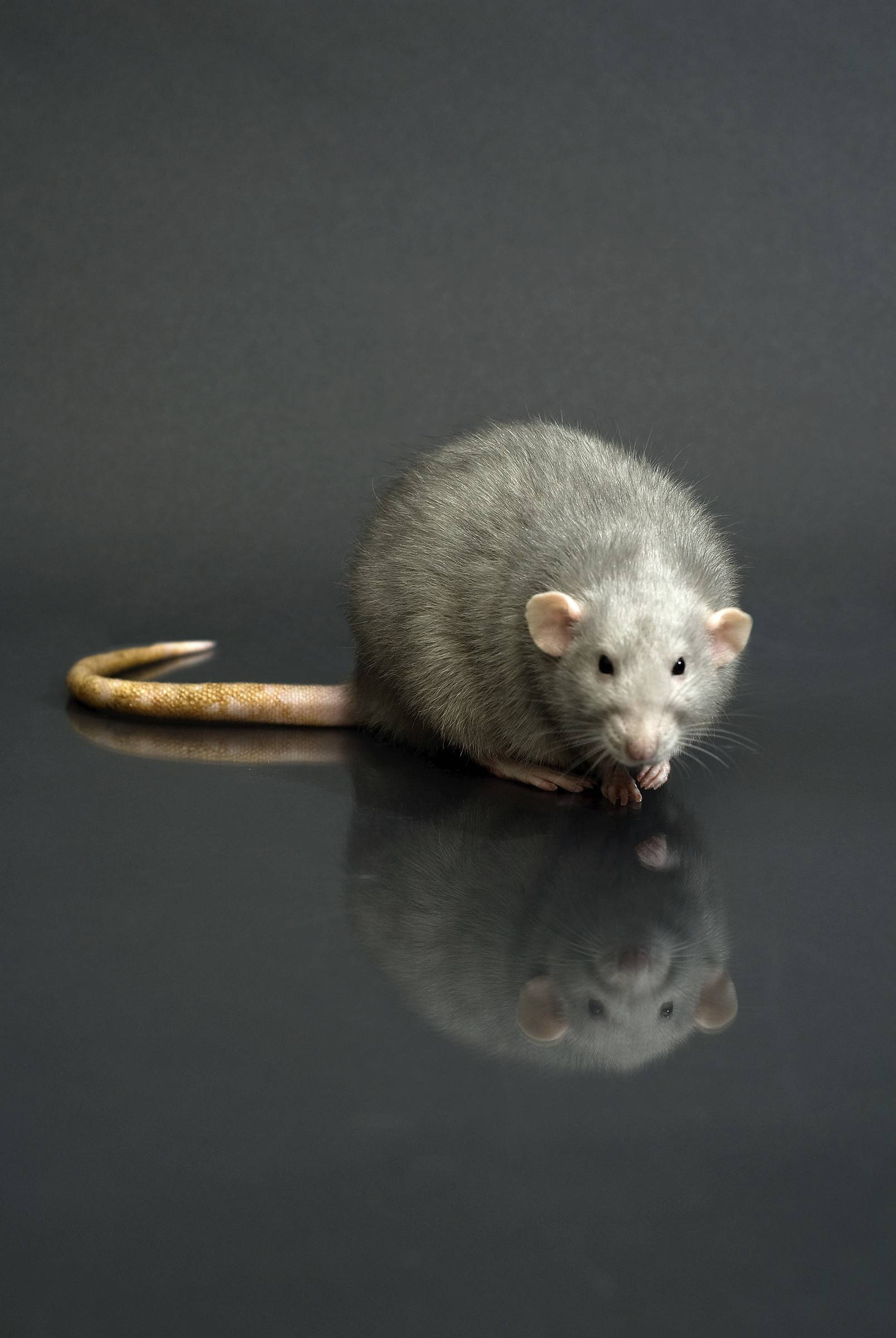 Chicago is using computerized data analysis in its efforts to kill rats.