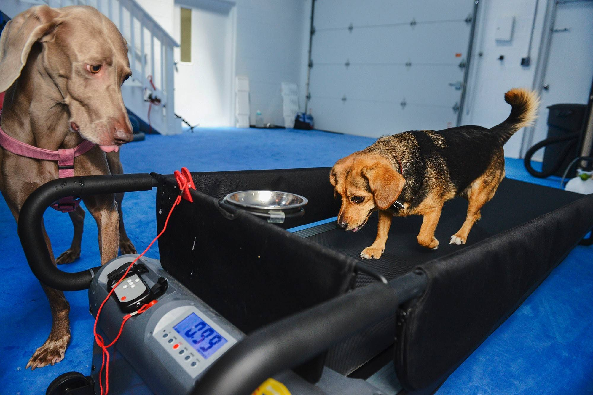 Ruby, a beagle-Chihuahua mix, uses the treadmill. Looking on is Sofie, a 4-year-old Weimaraner.