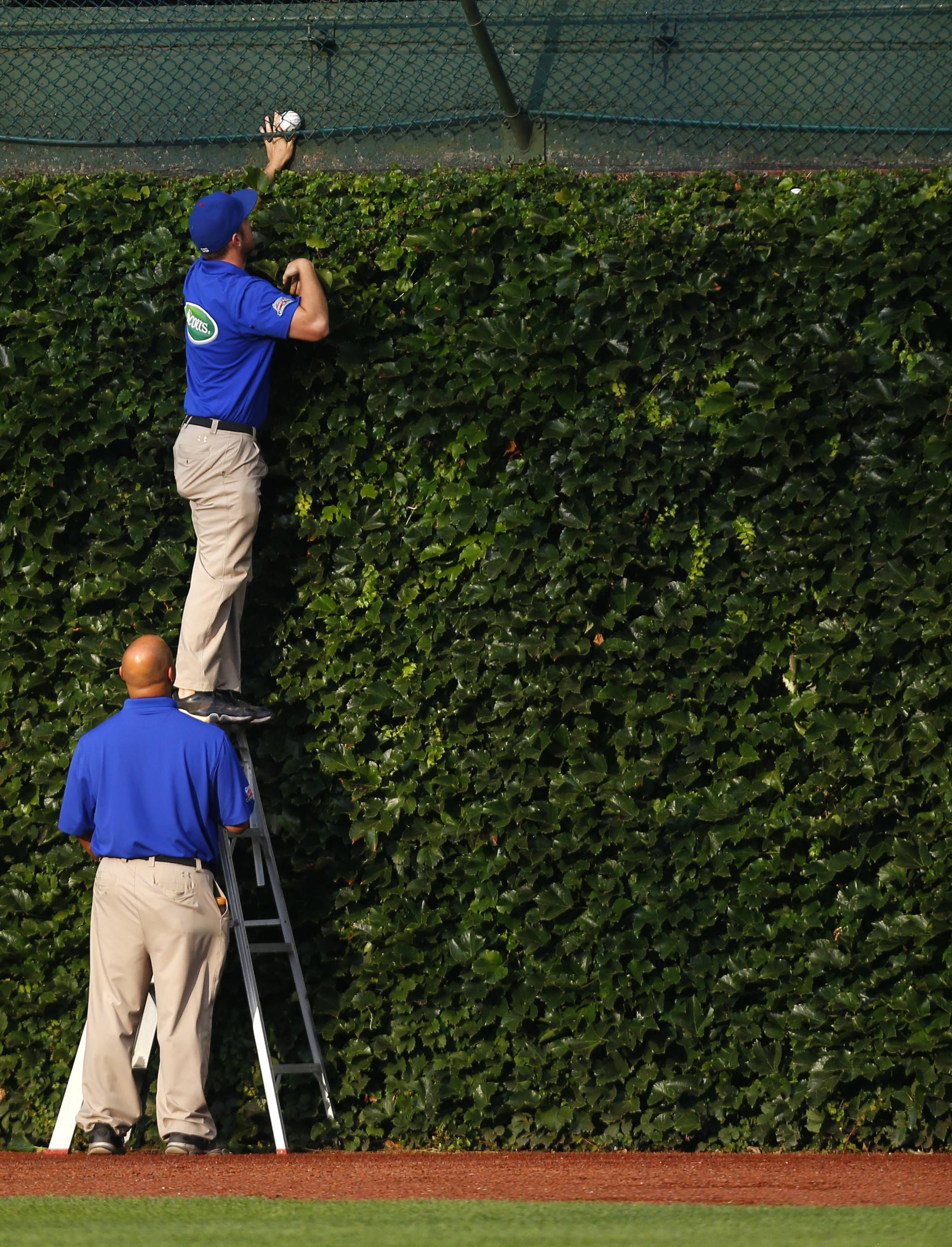 Members of the Chicago Cubs' grounds crew retrieve a baseball from the basket over the ivy wall in the outfield after batting practice before a baseball game between the San Francisco Giants and the Cubs in Chicago, Tuesday, Aug. 19, 2014.