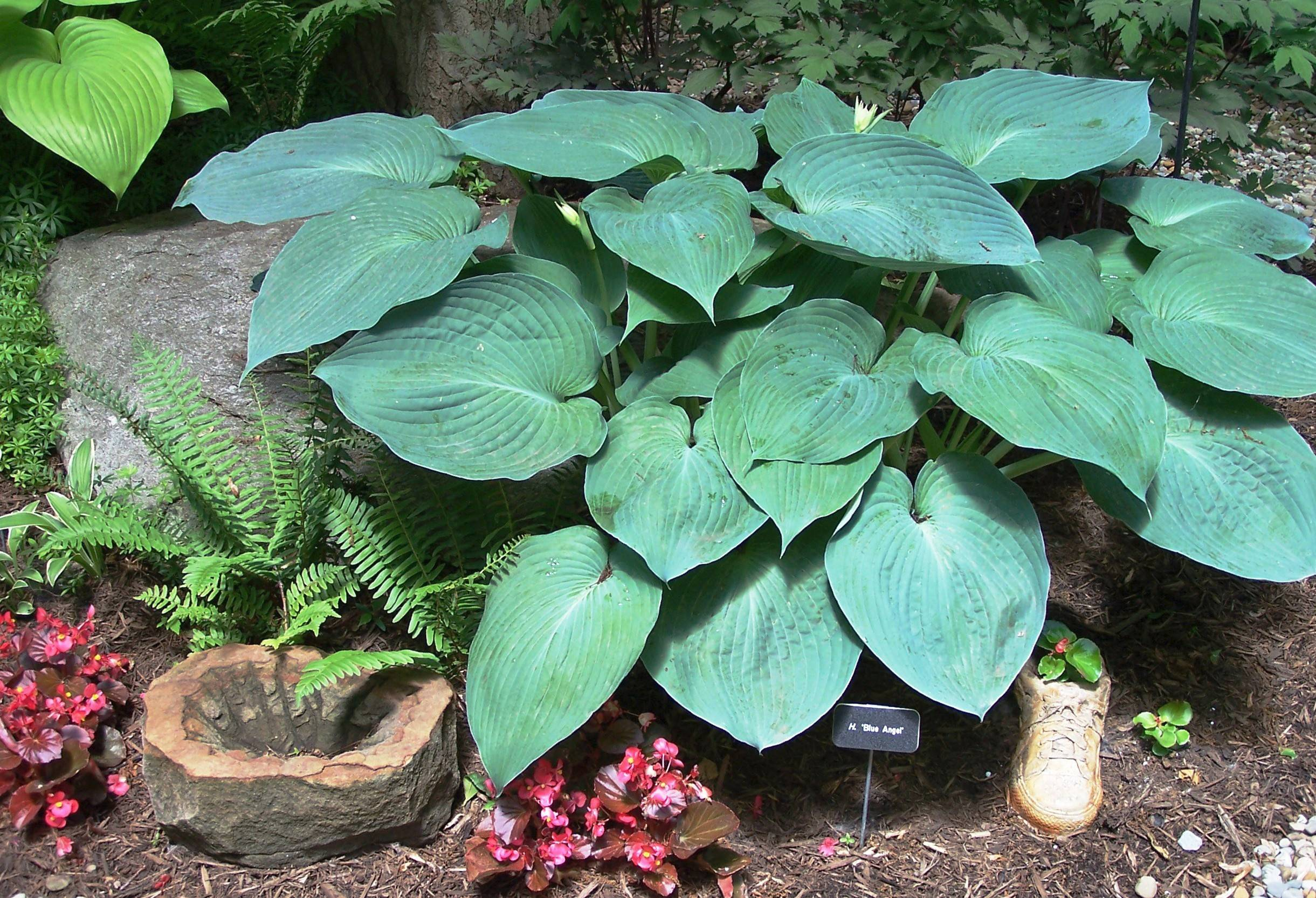 Blue Angel is one of the largest blue hostas.