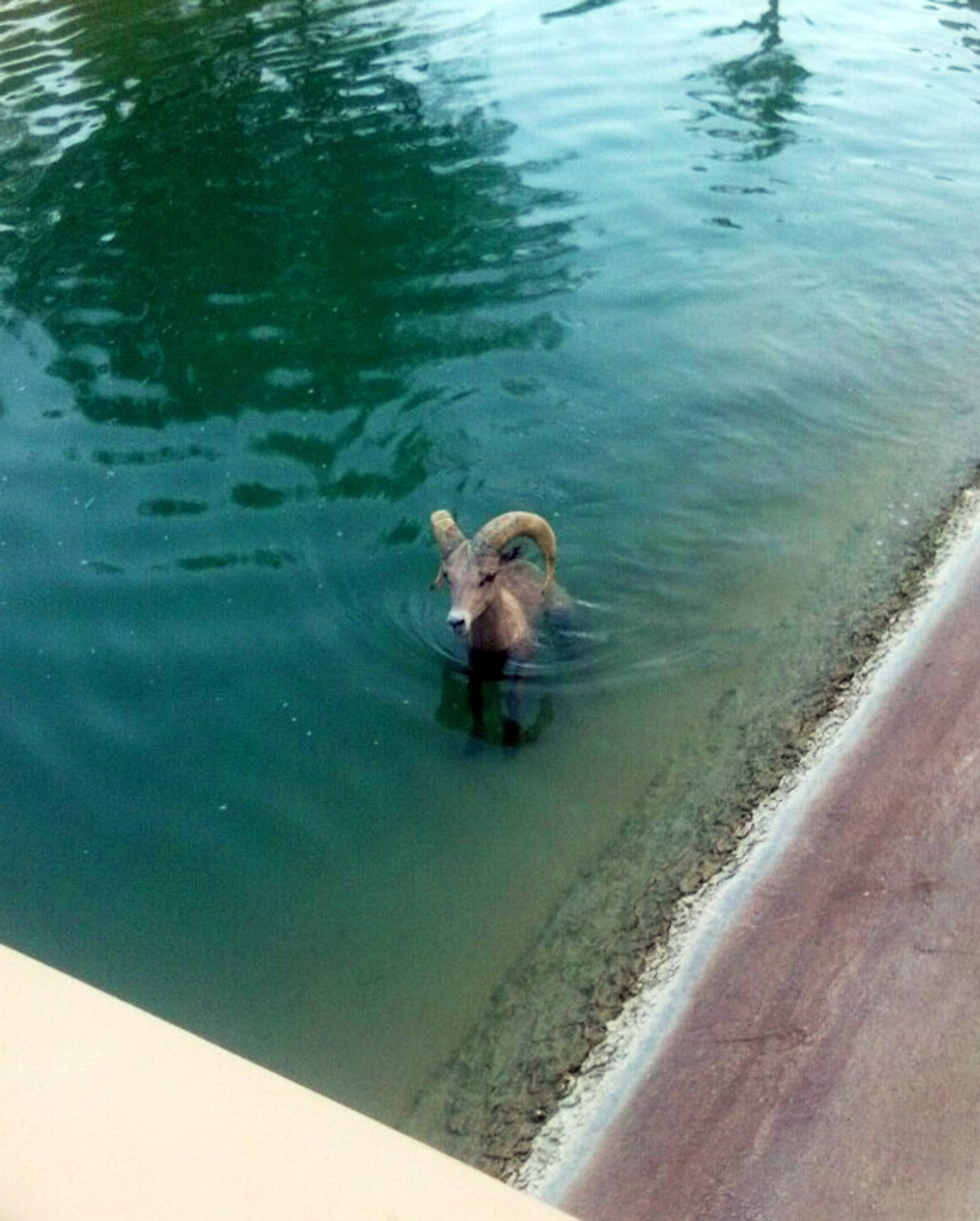 A bighorn sheep is stuck in a canal near the Arnold Palmer course at the PGA West Country Club in La Qunita, Calif.
