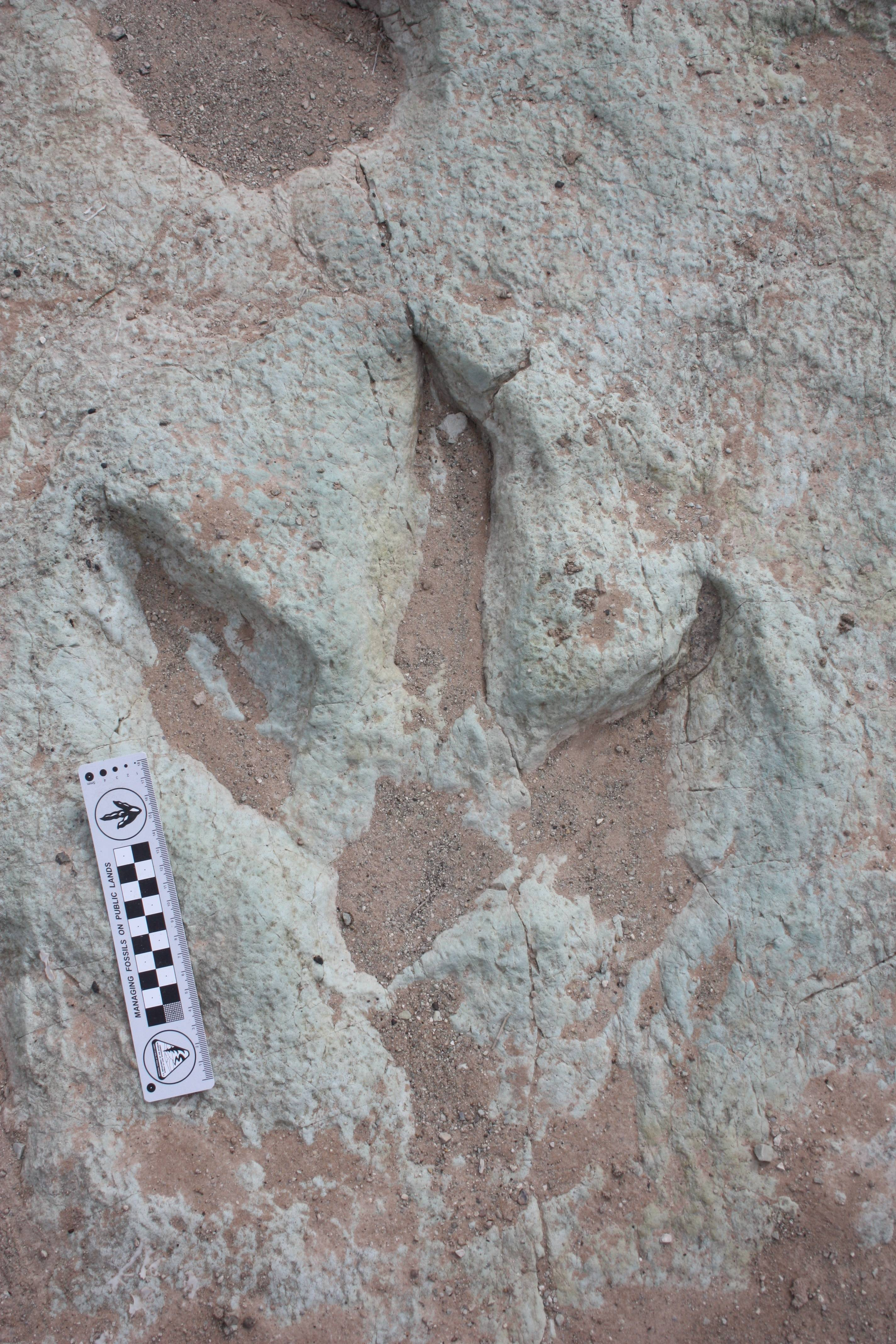 Theropod tracks found north of Moab, Utah. These tracks were left by large, three-toed, meat-eating dinosaurs, closely related to the dinosaur Siats. A dry wash full of 112-million-year-old dinosaur tracks are set to be opened to the public this fall near Moab.