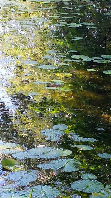 Water lilies on a pond next to reflections of trees at the Spring Valley Nature Center in Schaumburg on August 1.