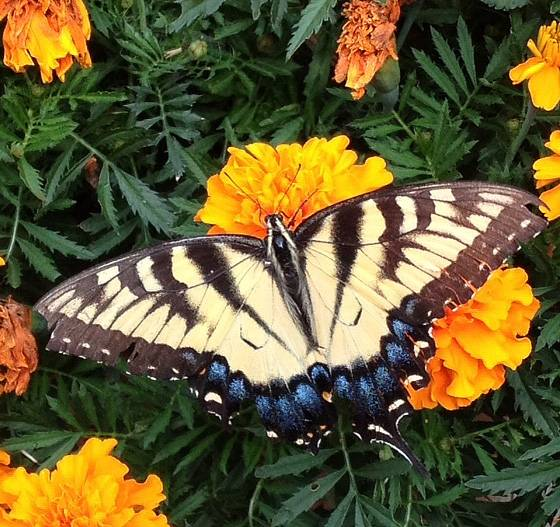 I took this Tiger Swallowtail with my iPhone out on my deck. He likes my Marigold plants.