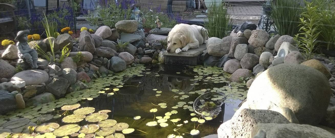 Clyde watches the koi fish on a lazy afternoon at a Green Oaks pond last June.