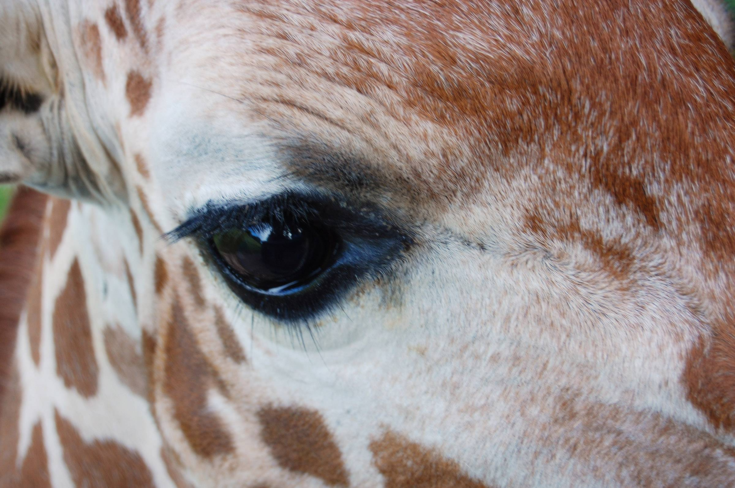 A giraffe stares out at the Binder Zoo in Battle Creek, Michigan last July 3.