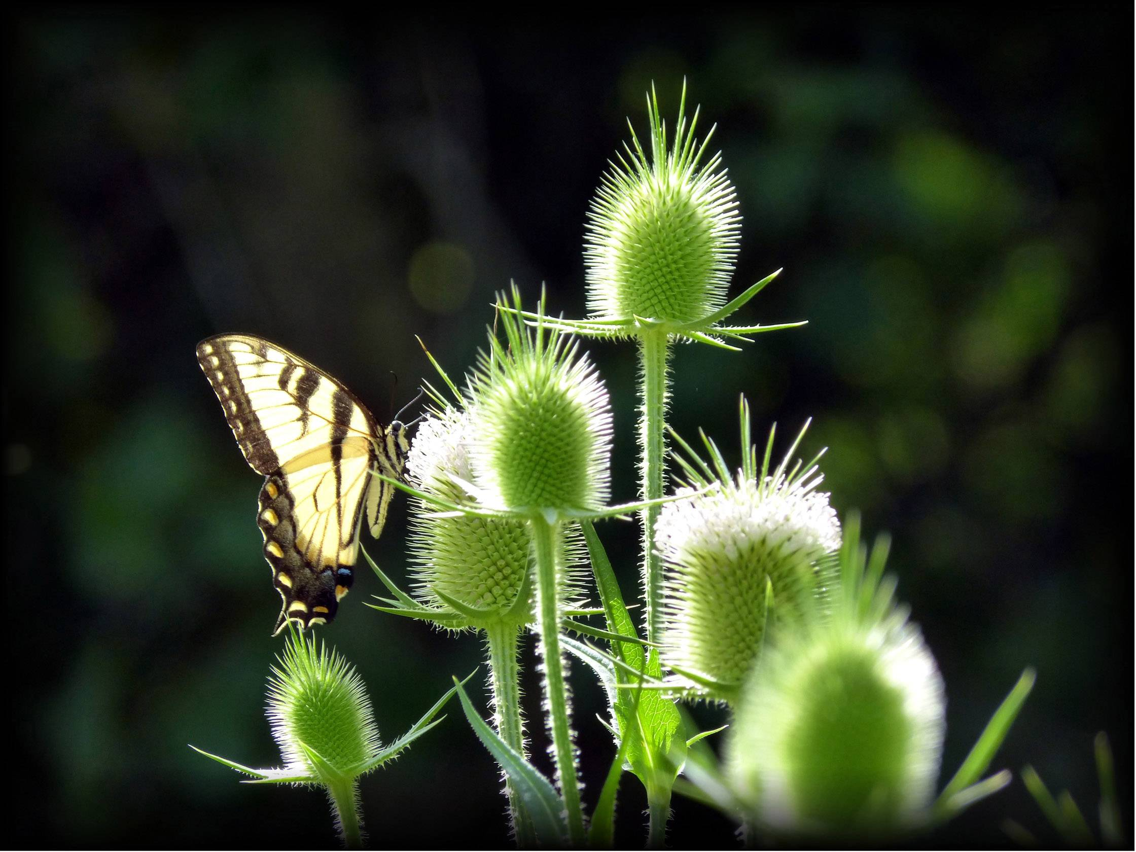 The rising sun illuminates the needles of the thistles and catches the delicate nature of the wings of a male swallowtail out looking for a morning meal.