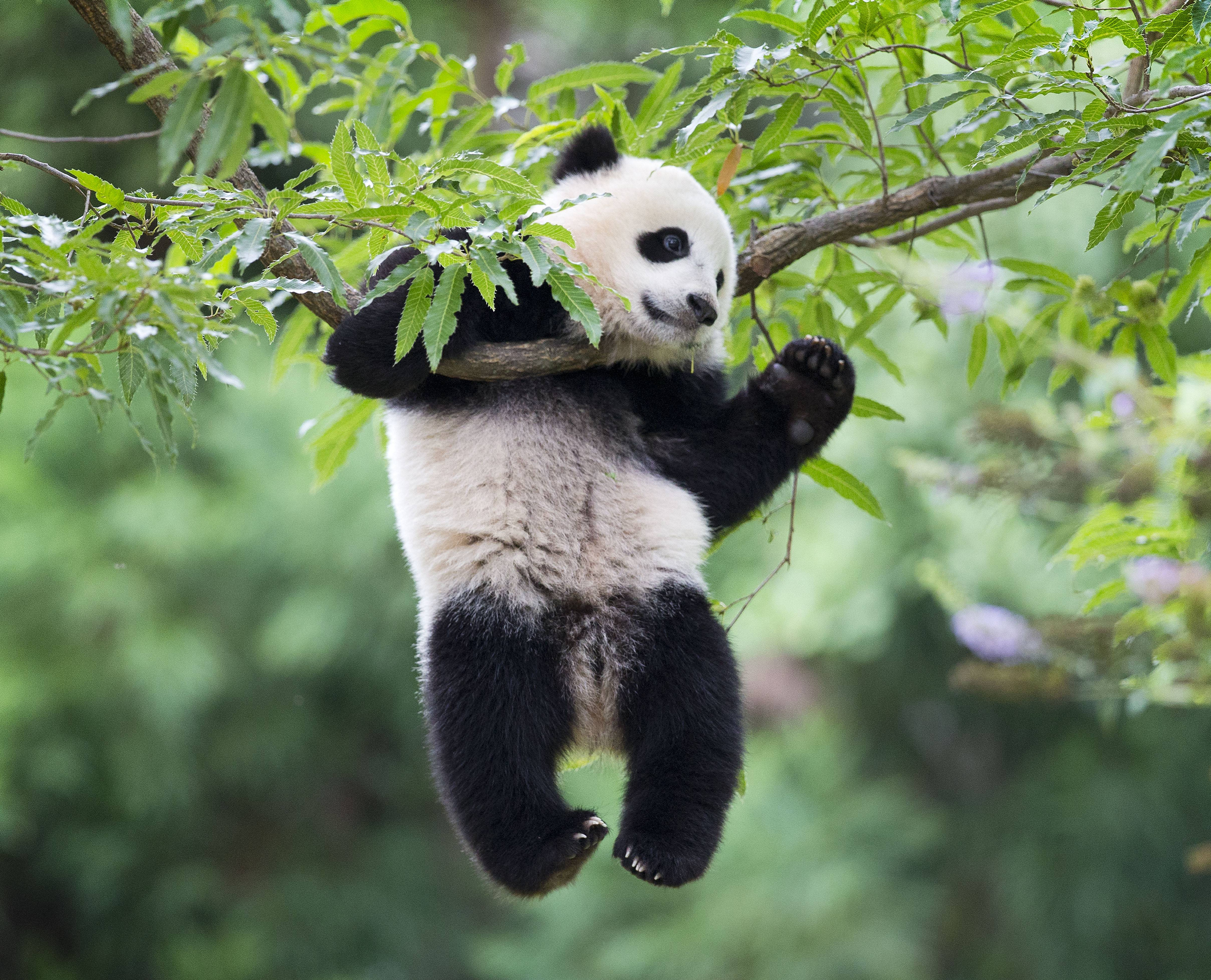 Panda cub Bao Bao hangs from a tree Saturday in her habitat at the National Zoo in Washington on her first birthday.
