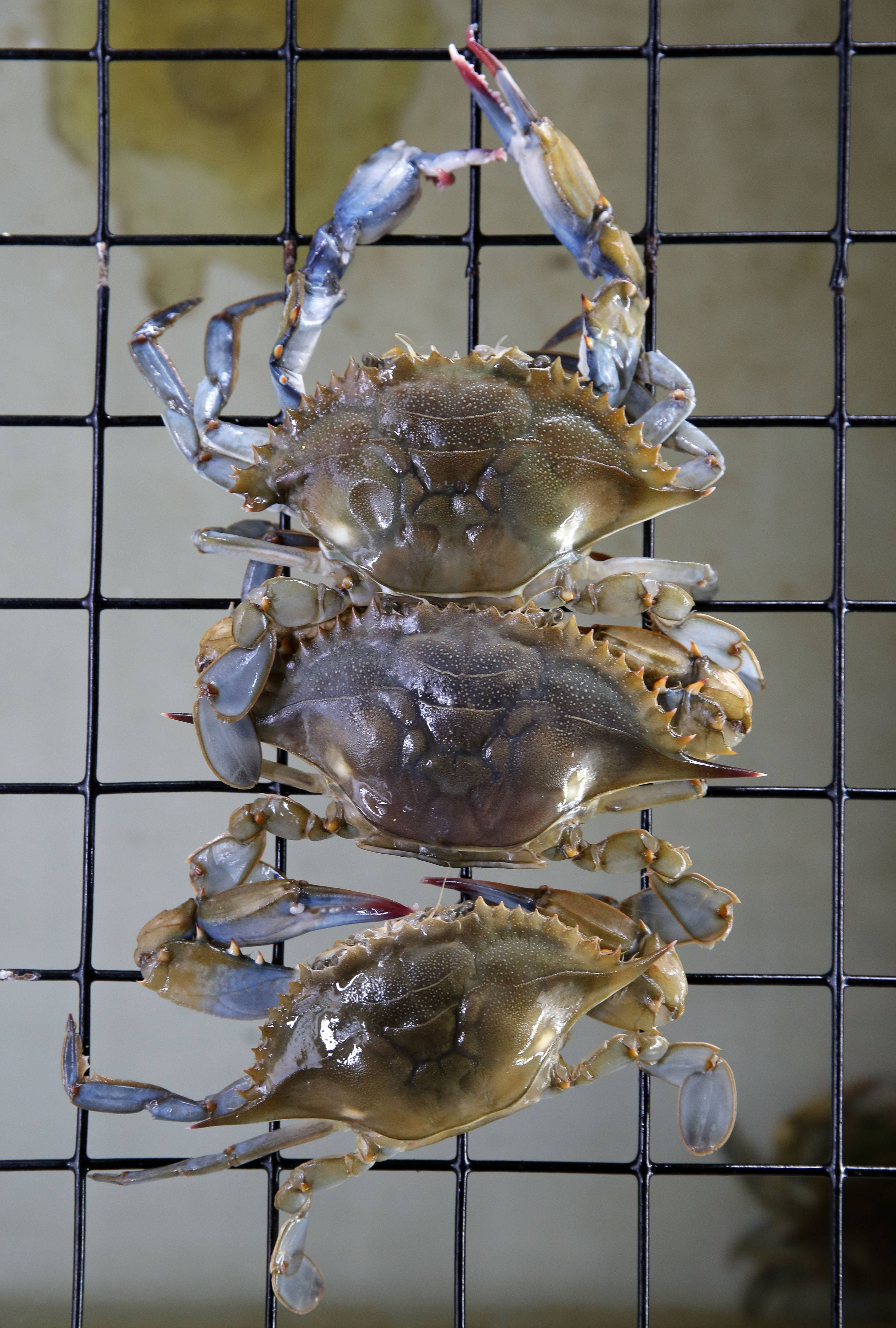 Soft shell crabs hang around before being cooked at Jimmy Cantler's Riverside Inn in Annapolis, Md.