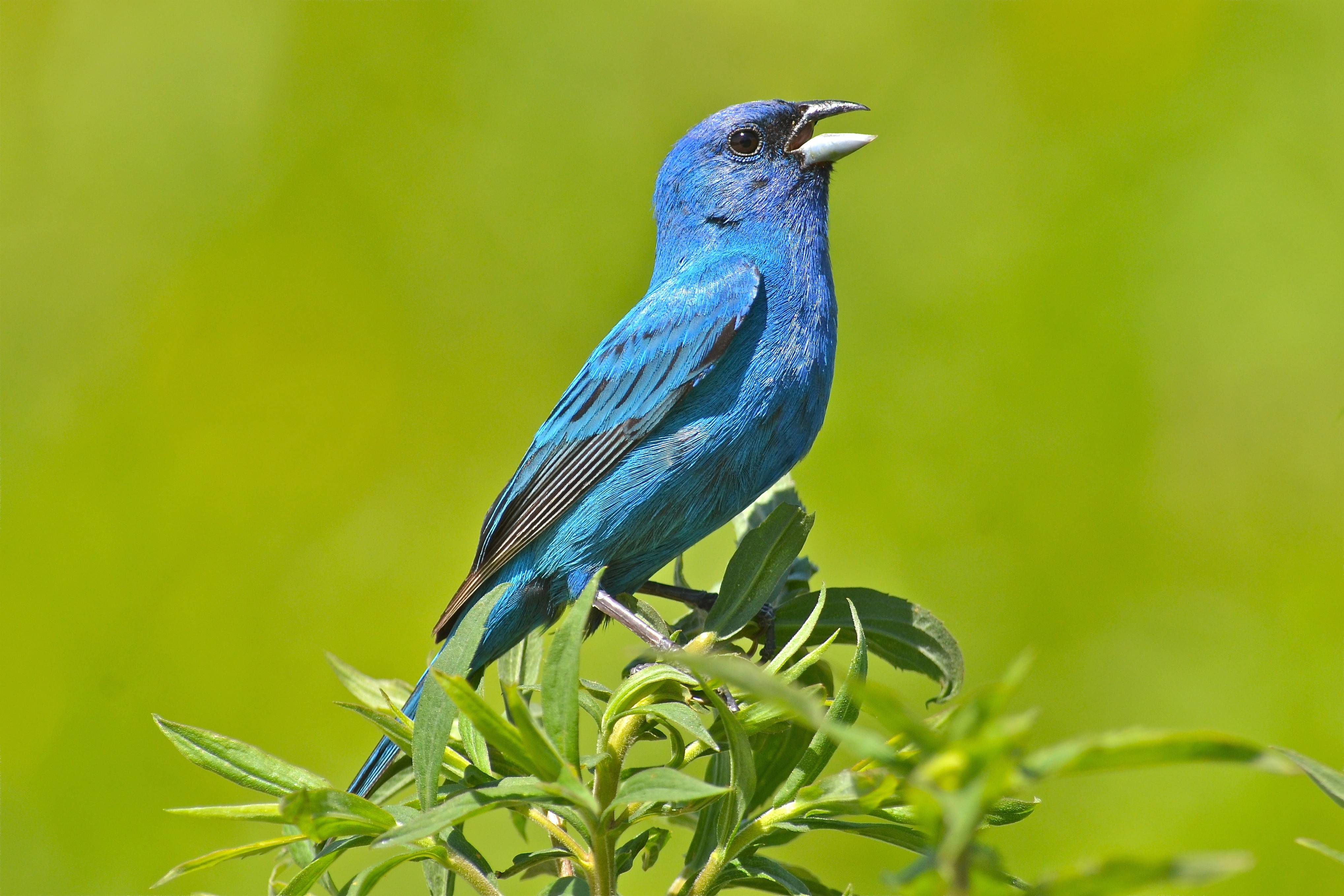 It may be common, but it's hard to ignore a male indigo bunting. Watching the common birds carefully, even in our backyards, will sometimes reveal fascinating and surprising behaviors.