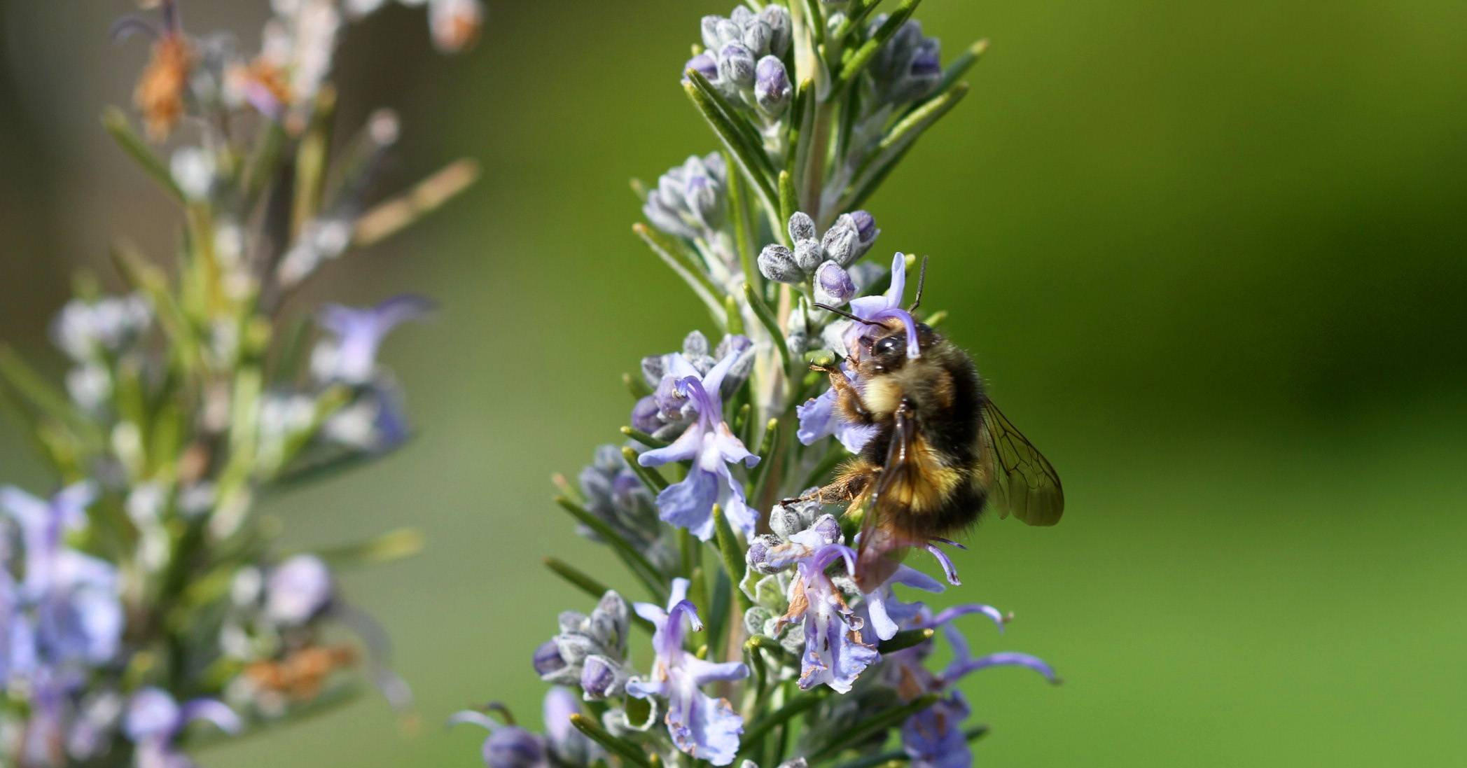 Honeybees are irreplaceable as pollinators, but you can somewhat offset their loss by attracting beetles, butterflies and moths, dragonflies, feral bees, bumblebees and wasps, among others.
