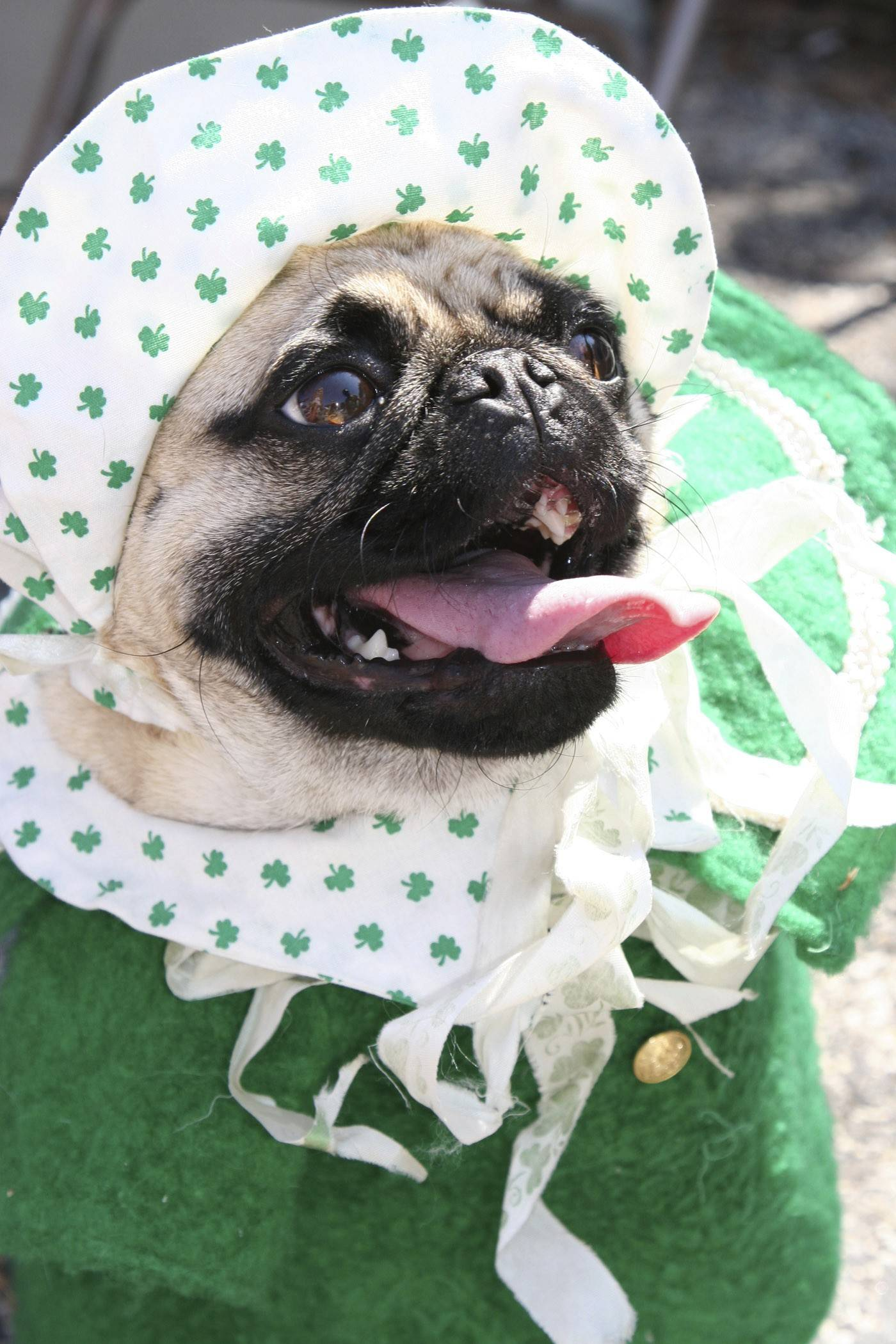 This dog is all dressed up for the Irish Dog Competition.