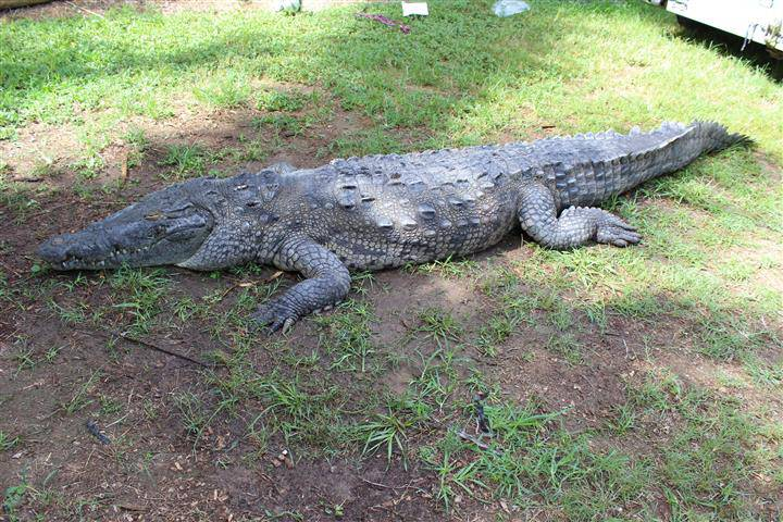 The crocodile named Pancho, suspected of biting two swimmers in a Coral Gables, Fla., canal.