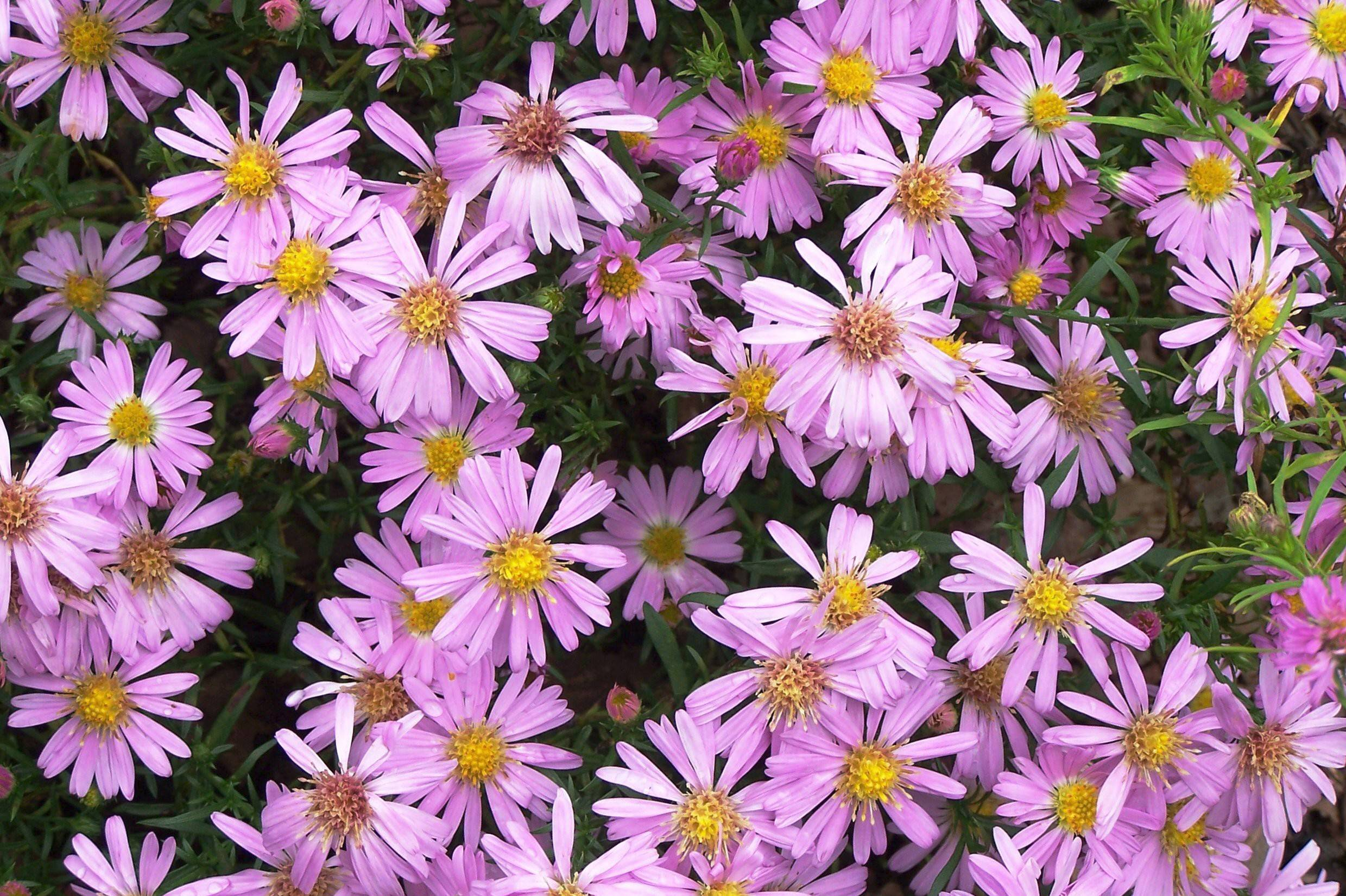 Asters bloom in shades of pink white blue and purple.