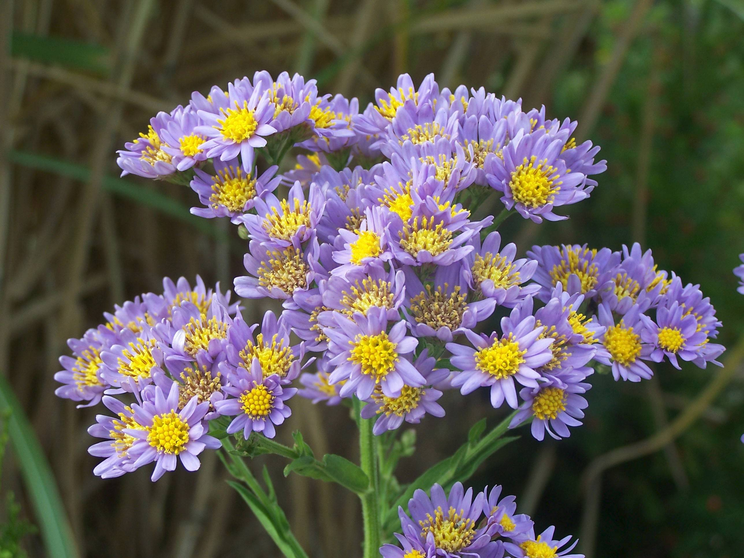 Jindau Aster blooms later than many other varieties.