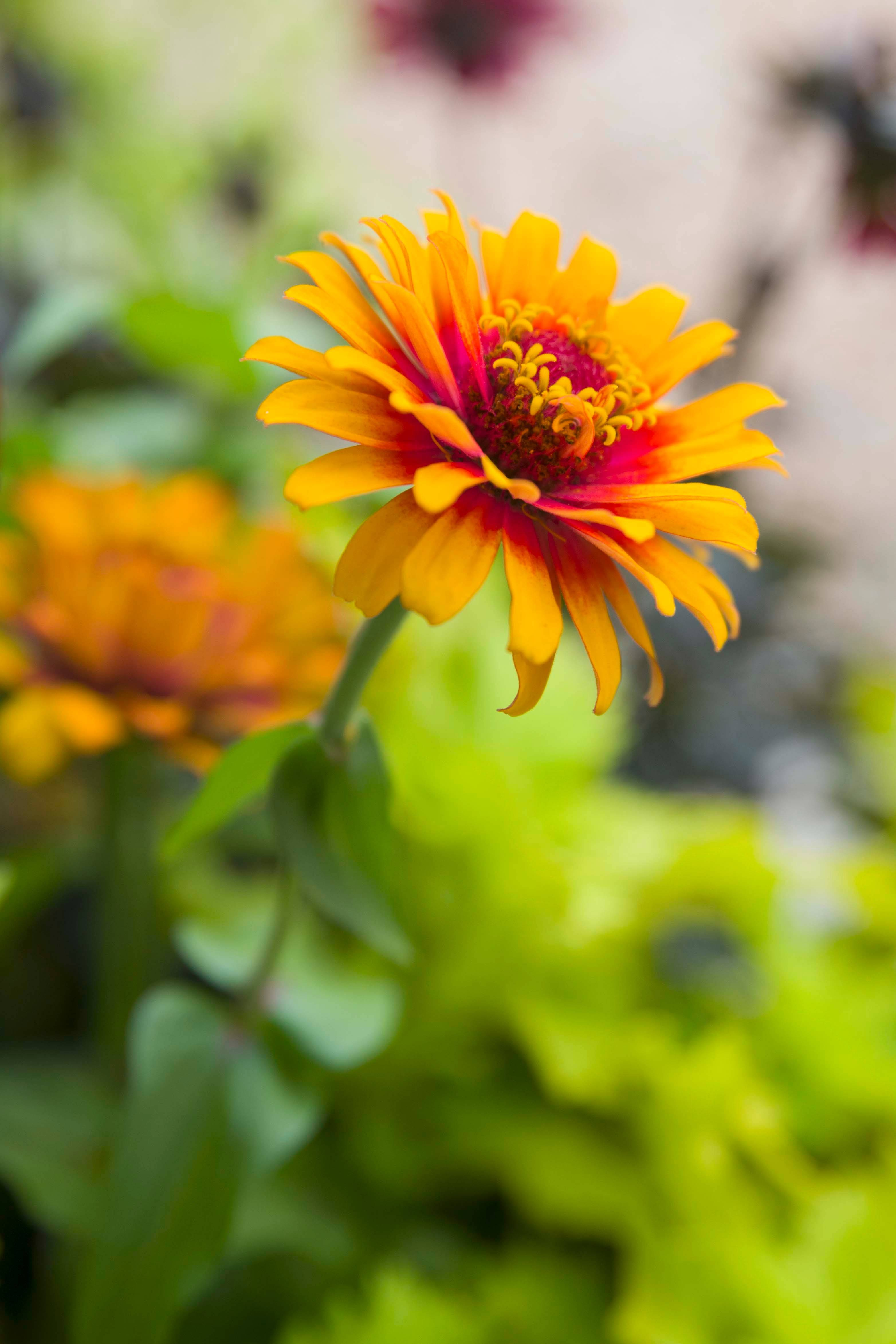 Zinnias, pictured healthy here, are among the plants that can get powdery mildew this time of the year.