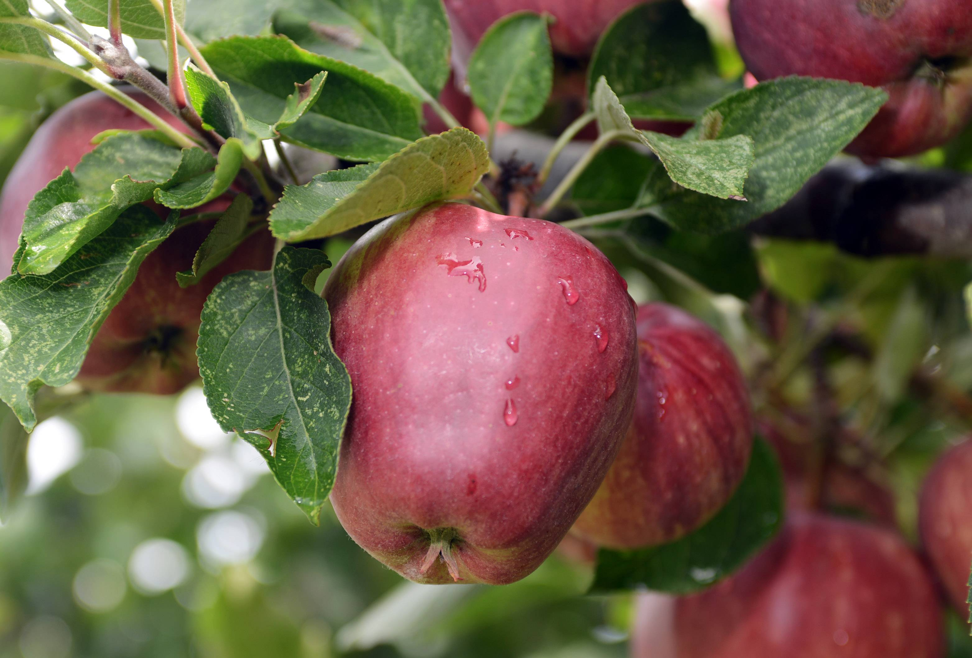 Double Red Delicious apples are ready to be picked at Ziegler's Apple Orchard in Grayslake.