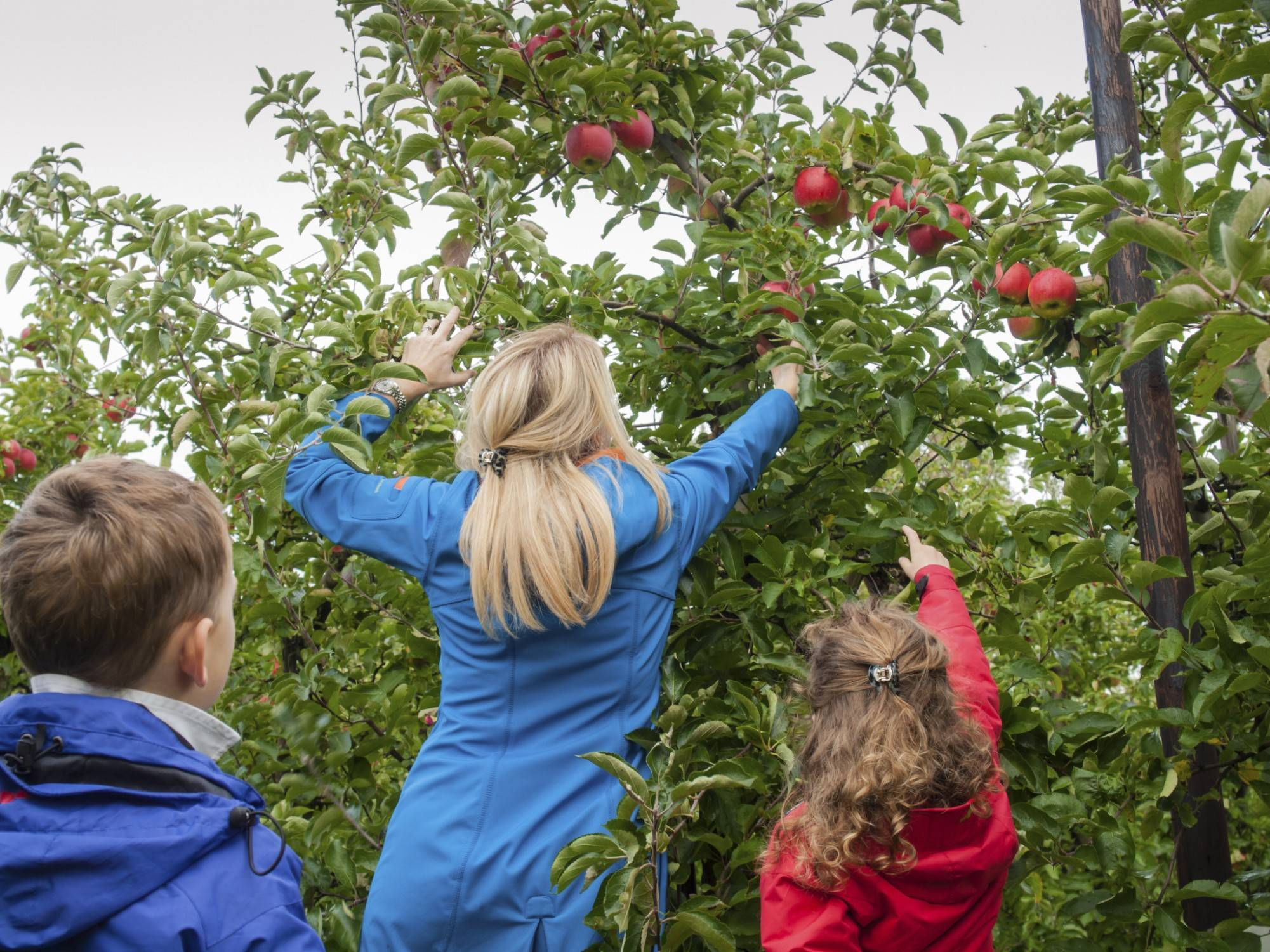Apple-picking season is now in full swing at many local orchards.