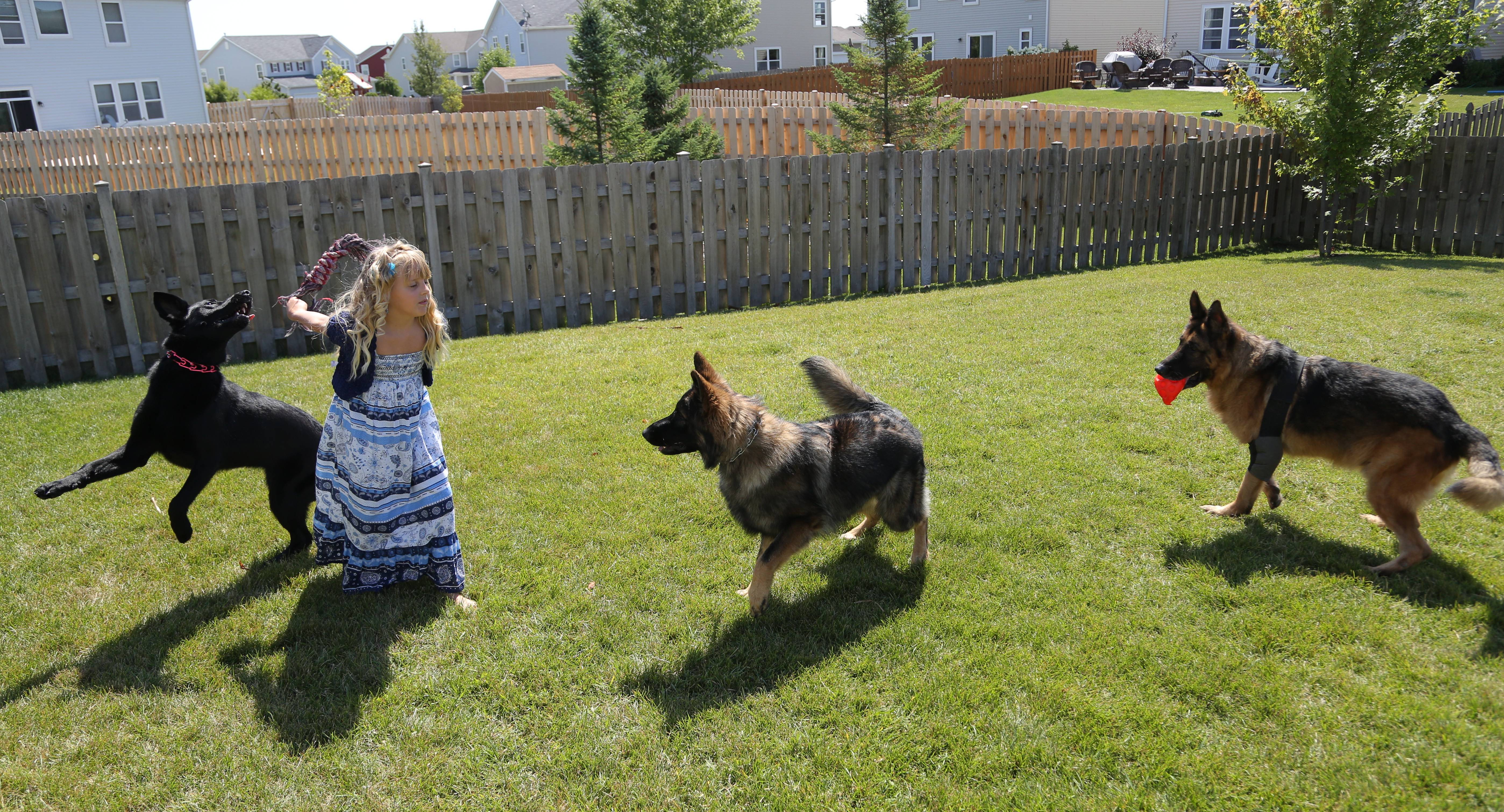 Allison Mazur, 8, plays with retired police dog Shane, right, active dog Hunter, middle, and puppy Talia at their home in Kenosha, Wisconsin.