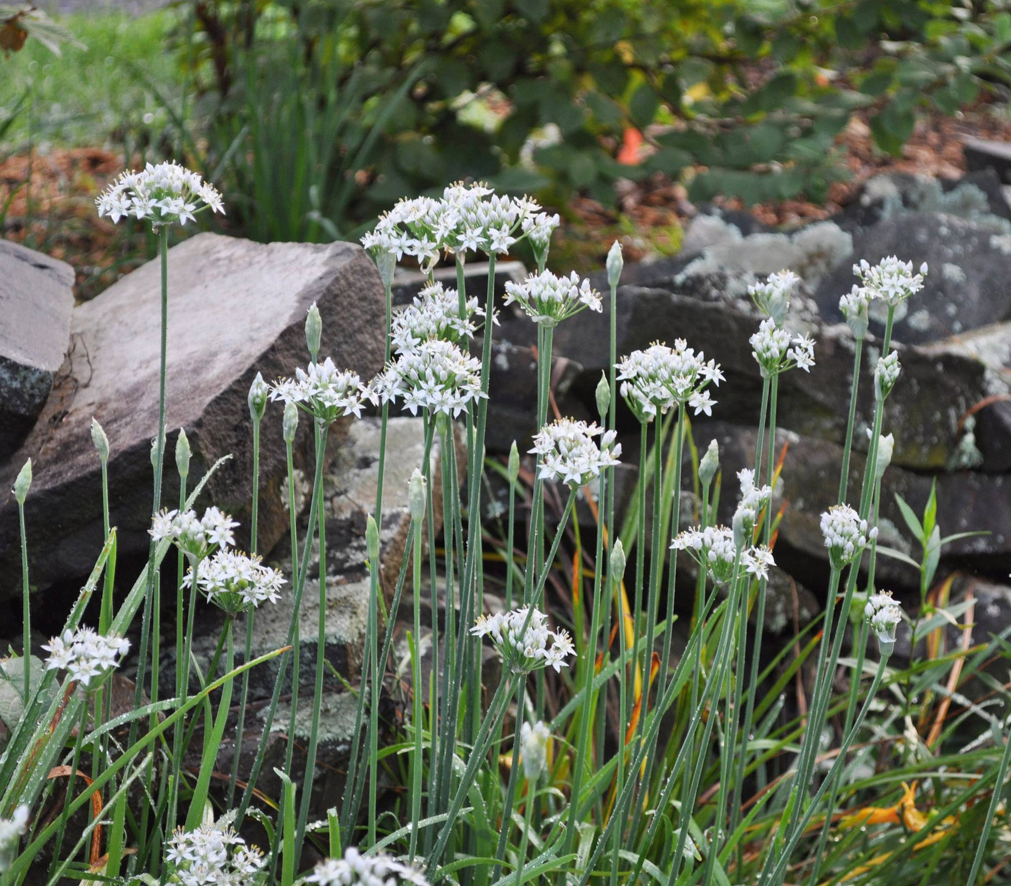 Garlic chives thrive best in full sun and moderately rich soil.