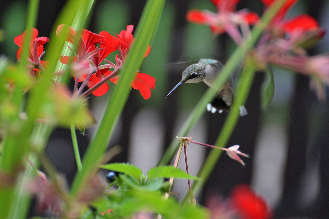 This was taken through my home's french door window as a hummingbird dropped by for afternoon visit at the planter just outside the door.