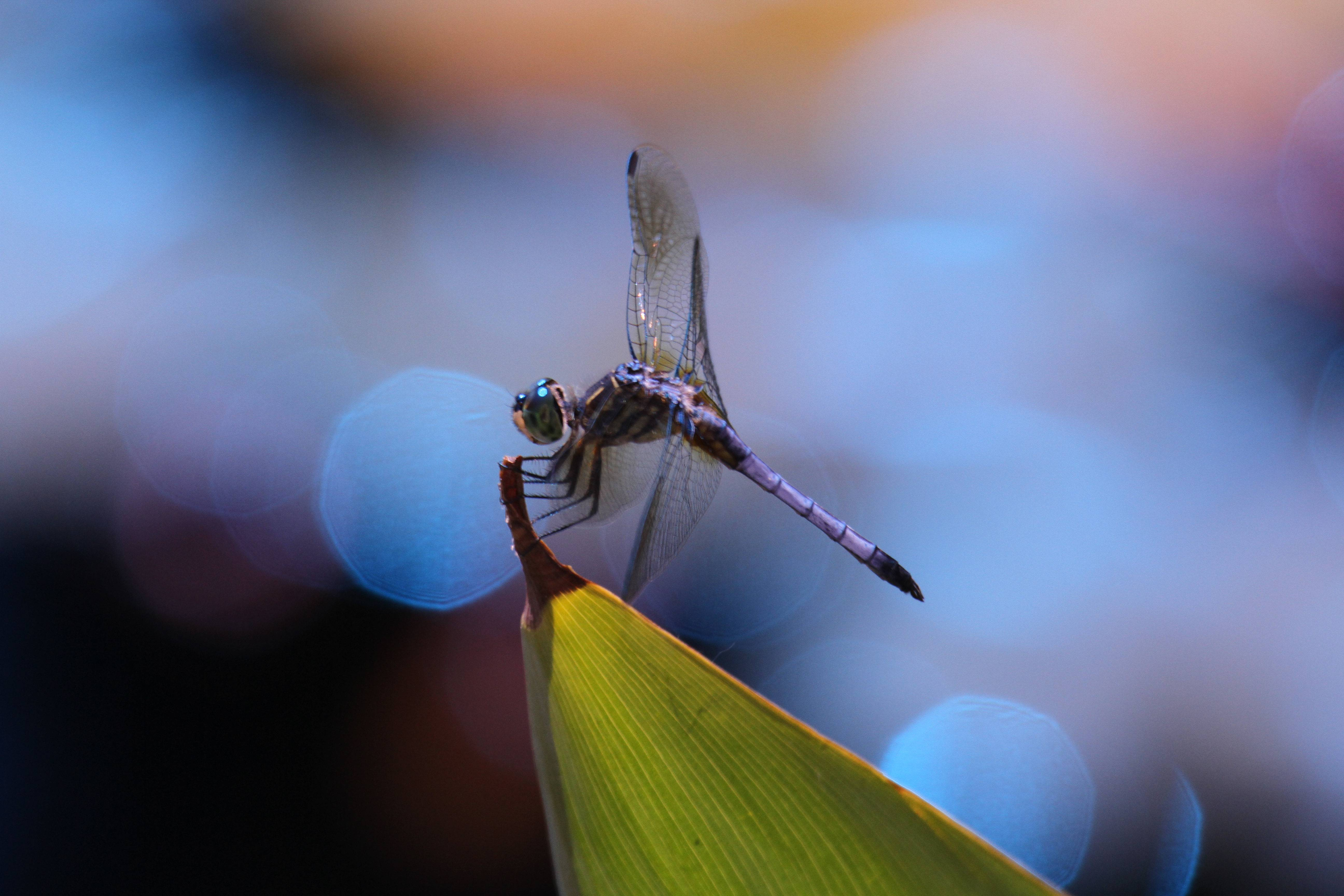 I took this photo during a recent visit to the Chicago Botanic Garden, I noticed this dragonfly circling and returning to a favorite resting spot.