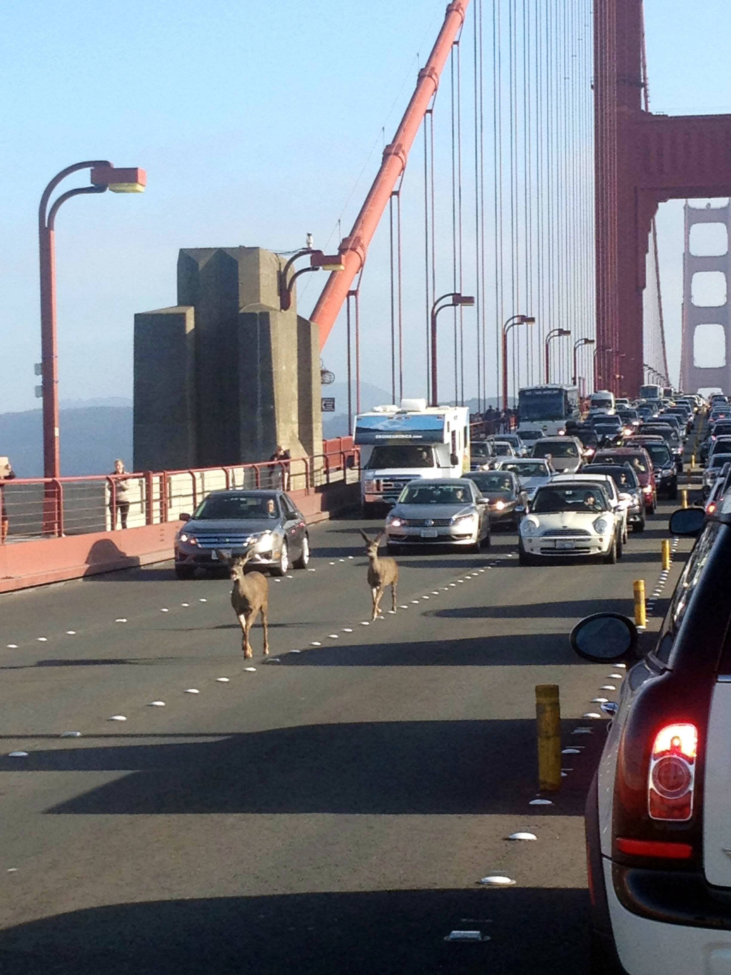 Deer cross the Golden Gate bridge, in San Francisco, Friday.