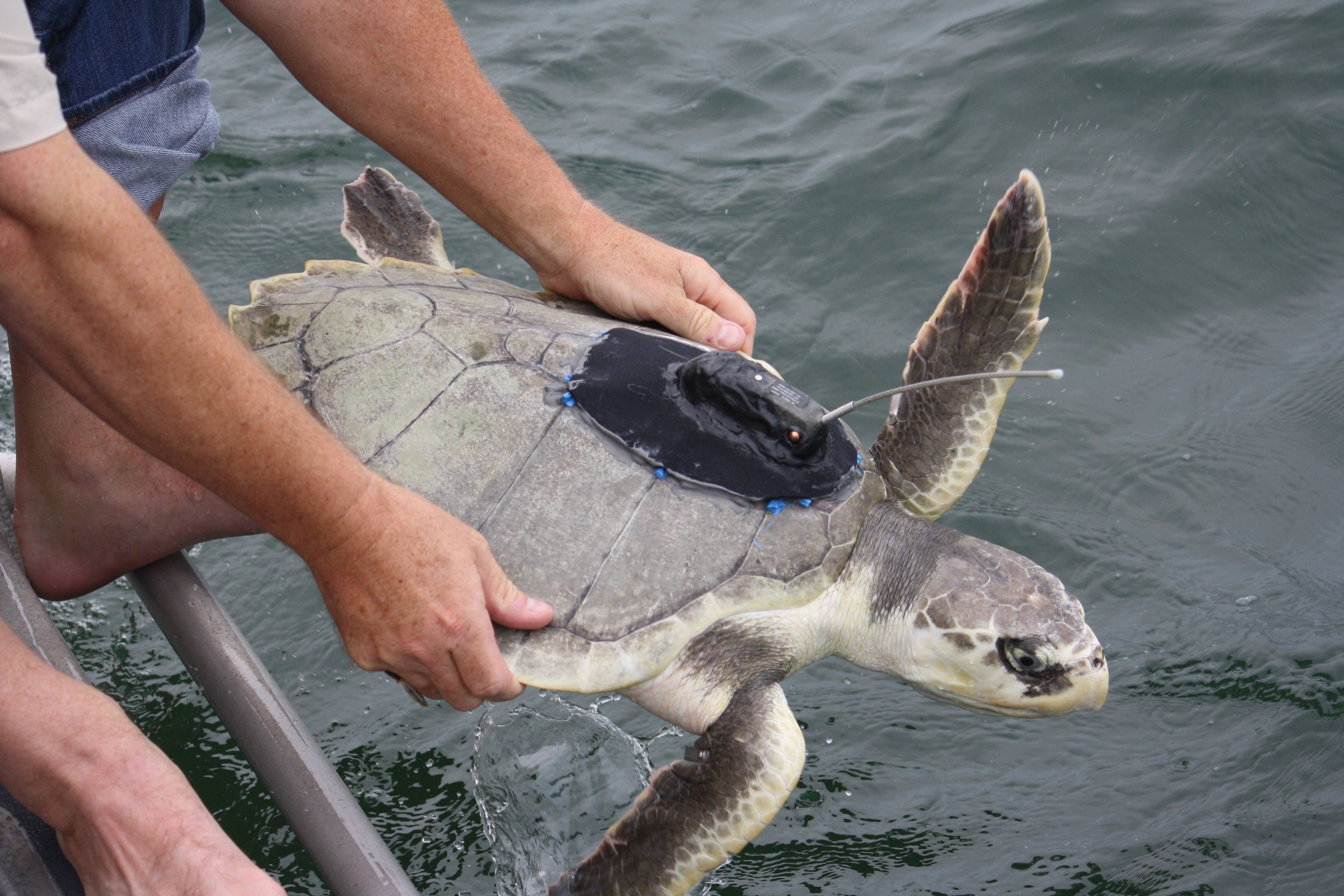 A satellite tagged Kemp's ridley sea turtle named Hugo is released, near Gulfport, Miss., into the Gulf of Mexico for the purpose of having its migration through the gulf tracked.