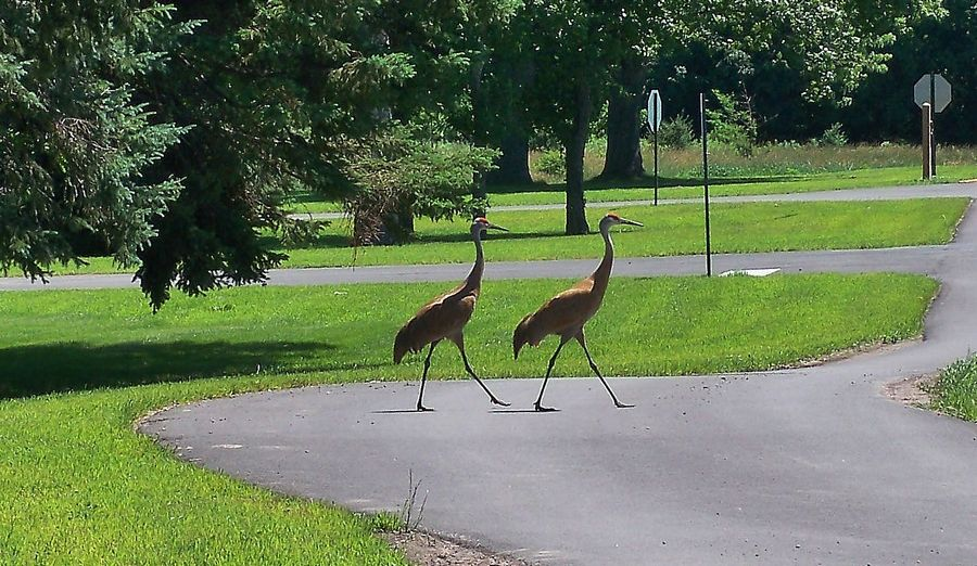 Sandhill cranes wander around Creek Bend Nature Center at LeRoy Oakes Forest Preserve in St. Charles.