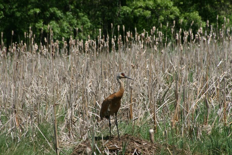 Wildlife biologist Bill Graser photographed this sandhill crane at Freeman Kame Forest Preserve in Gilberts.