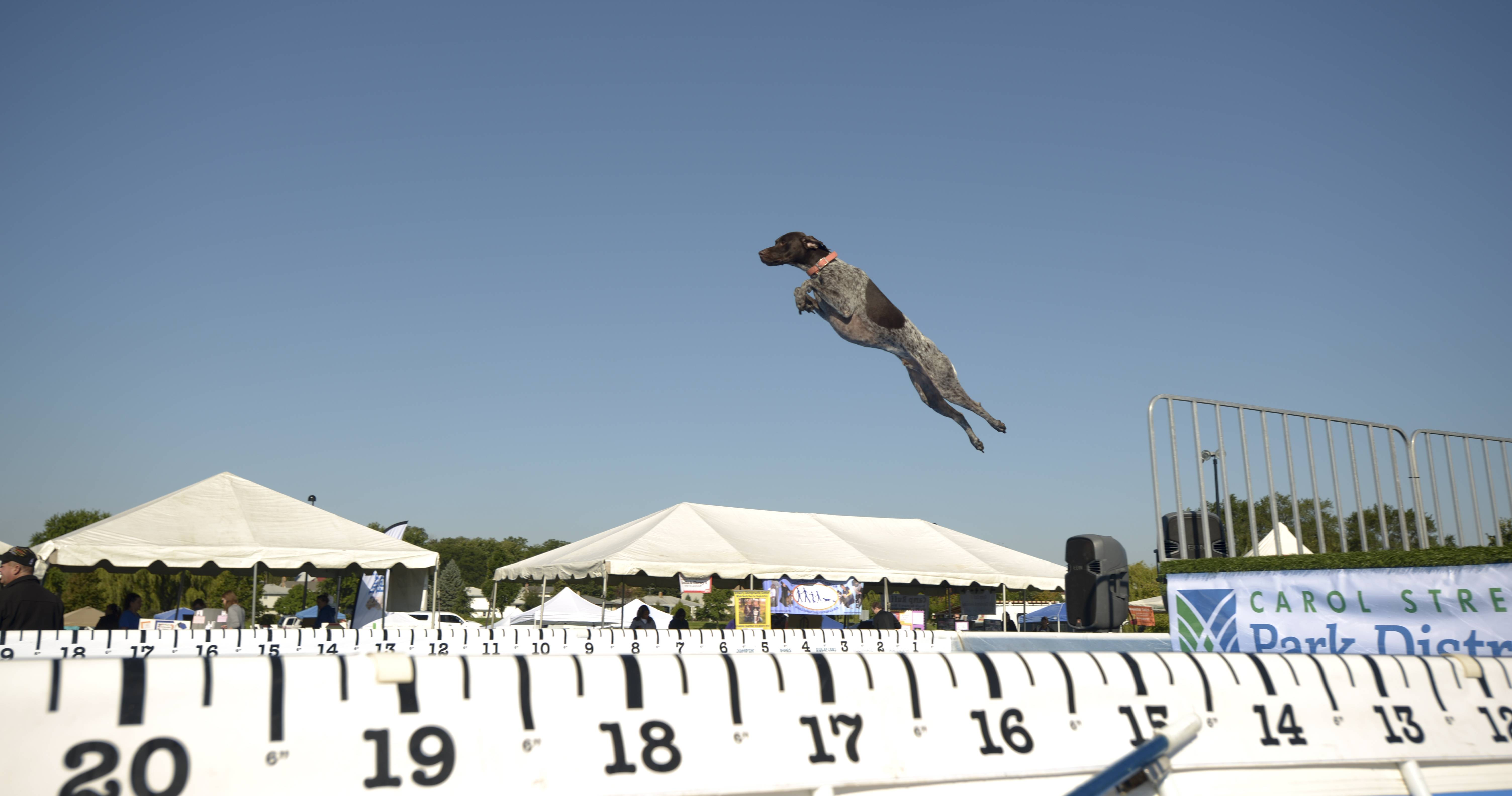 Charlie, a German shorthaired pointer from Aurora, flies through the air as he leaps off the dock into a pool chasing after a water toy during Carol Stream Park District's 6th annual CSBarks Dog Festival.