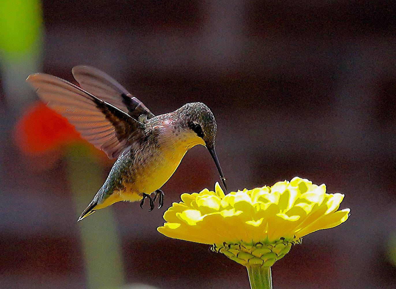 Hummingbirds feed themselves before migration at the chicago Botanic Gardens in Glencoe.