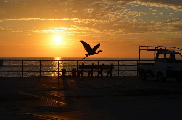 A great blue heron starts a day of fishing near the pier at sunrise in Catalina Island, California.