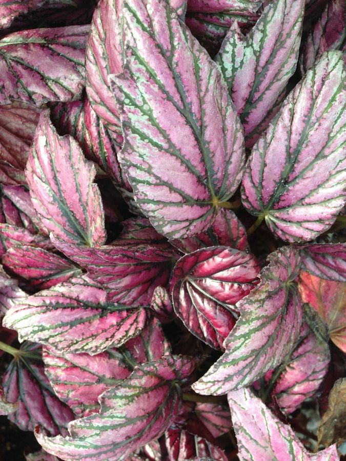 Rex begonias are beautiful houseplants in winter.