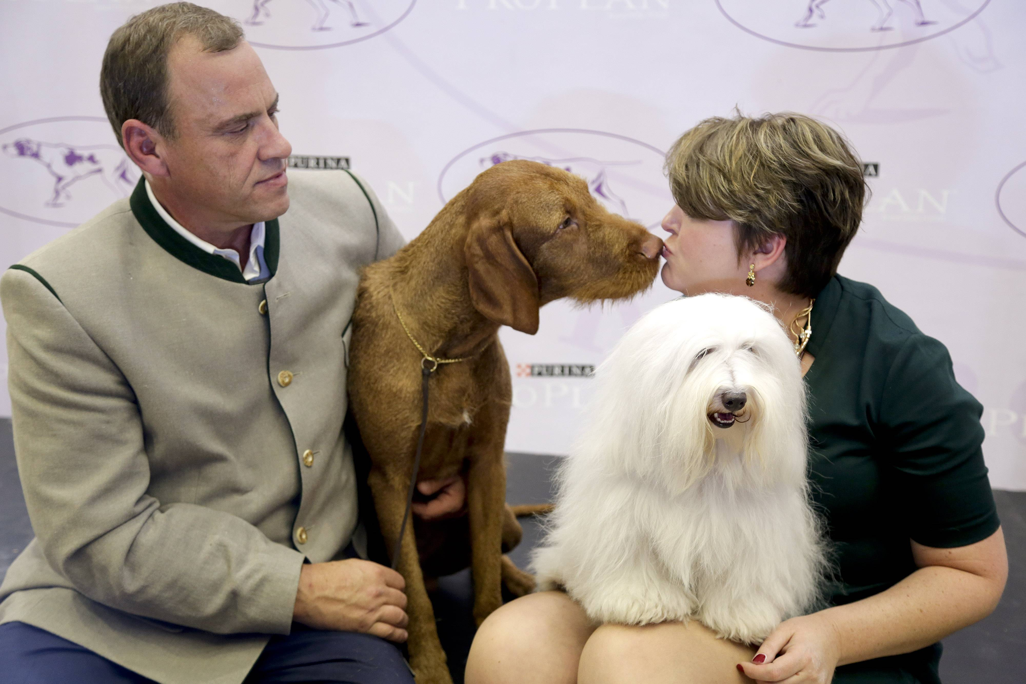 Falko, left, a wire-haired vizsla, and Luna, a cotton de tulear, sit on stage with their owners, Anton Sagh, of Montreal, Quebec, and Adrianne Dering, of Morgantown, W.Va., during a news conference Tuesday in New York. The Westminster Kennel Club said the two breeds will be eligible to compete for the first time in the New York show next February.