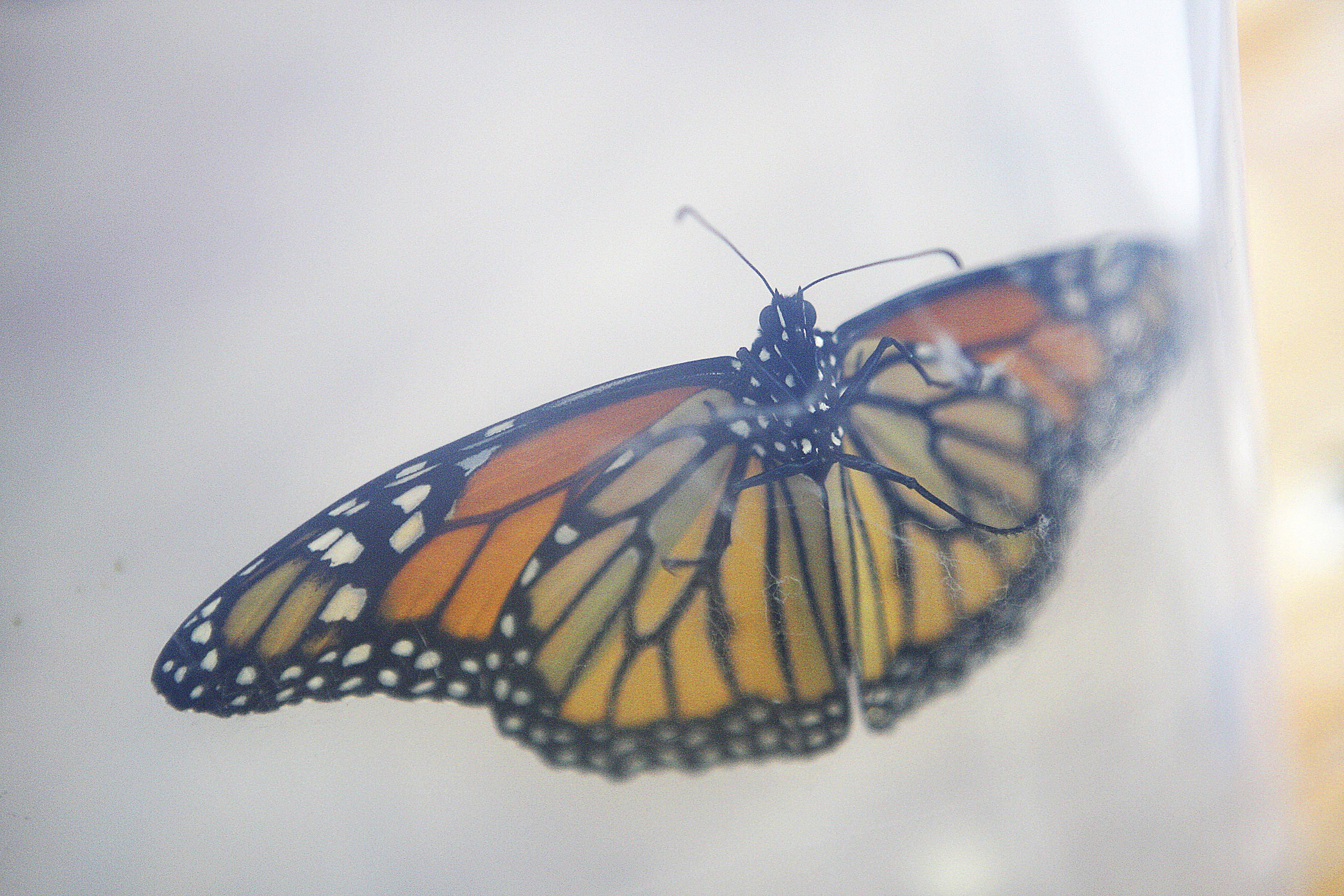 A male monarch butterfly is seen through the container. Janet Giesen is keeping him in after he emerged from the chrysalis in her garage. Giesen hopes her raising and releasing of 17 monarch butterflies makes some sort of impact on the world around her. (AP Photo/Daily Chronicle, Danielle Guerra) MANDATORY CREDIT