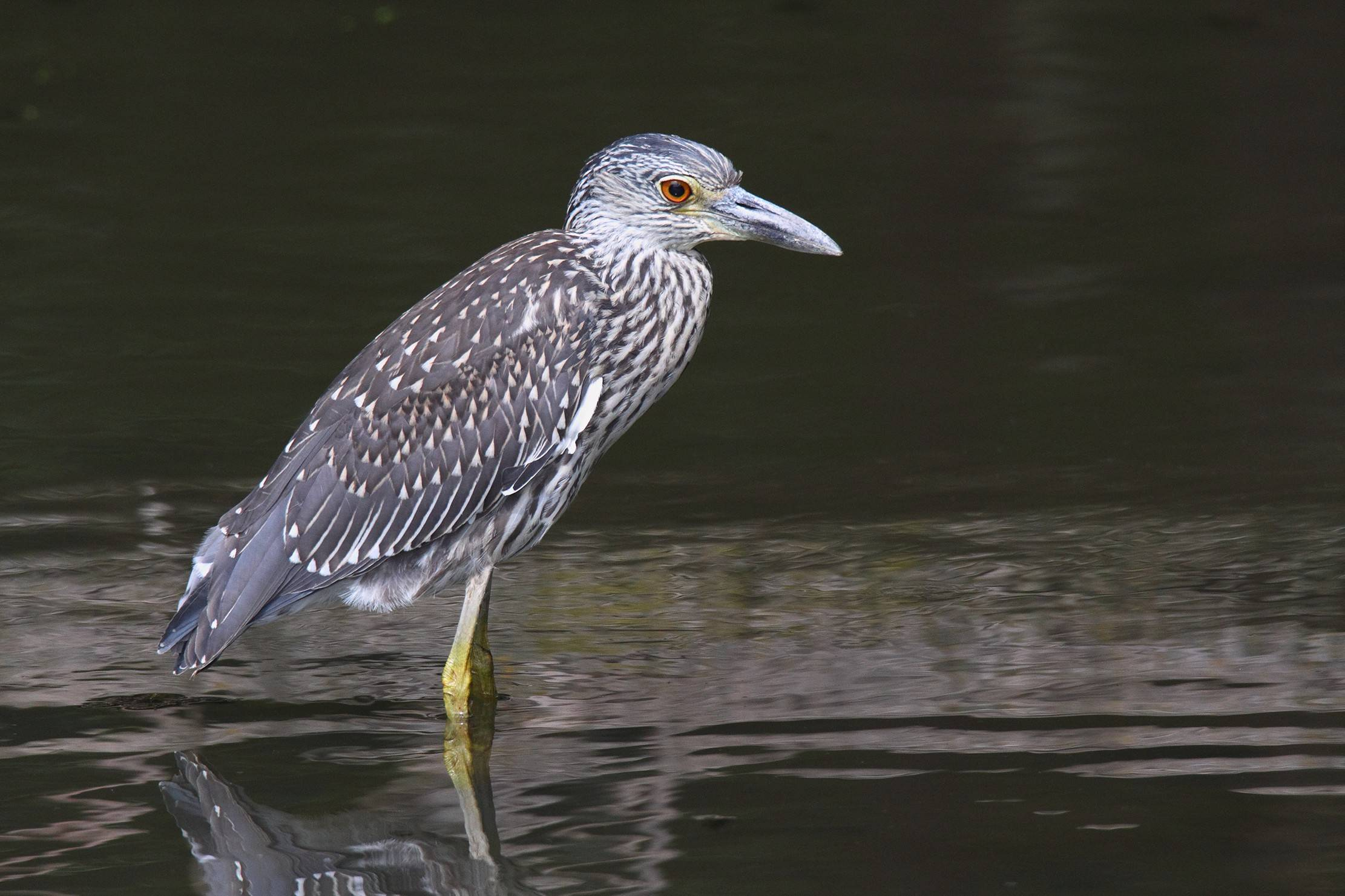 This immature yellow-crowned night heron, discovered at Fermilab in Batavia, caused a stir among local birders in early September.