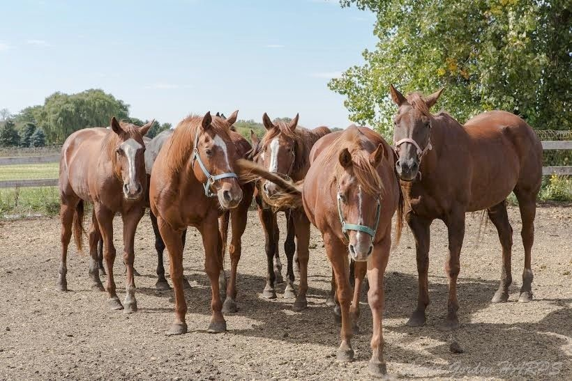 Seventy-five American Quarter Horses formerly of Harvard need a good home after their owner fell on hard financial times.