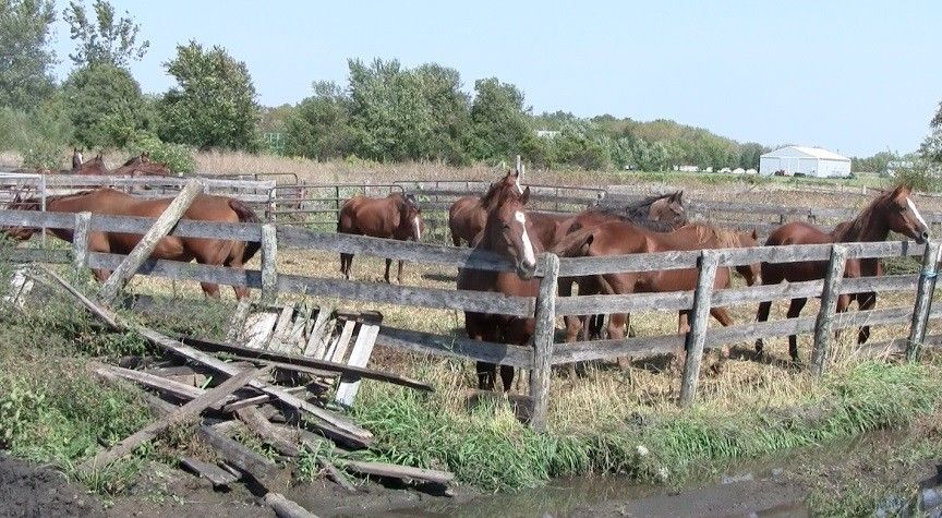 These American Quarter Horses are in need of a good home.