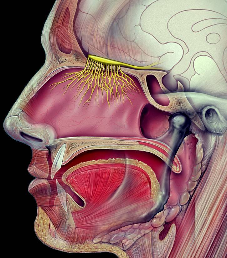 The health of the olfactory nerve, shown here at the top of the nasal cavity, can be an effective predictor of approaching death.