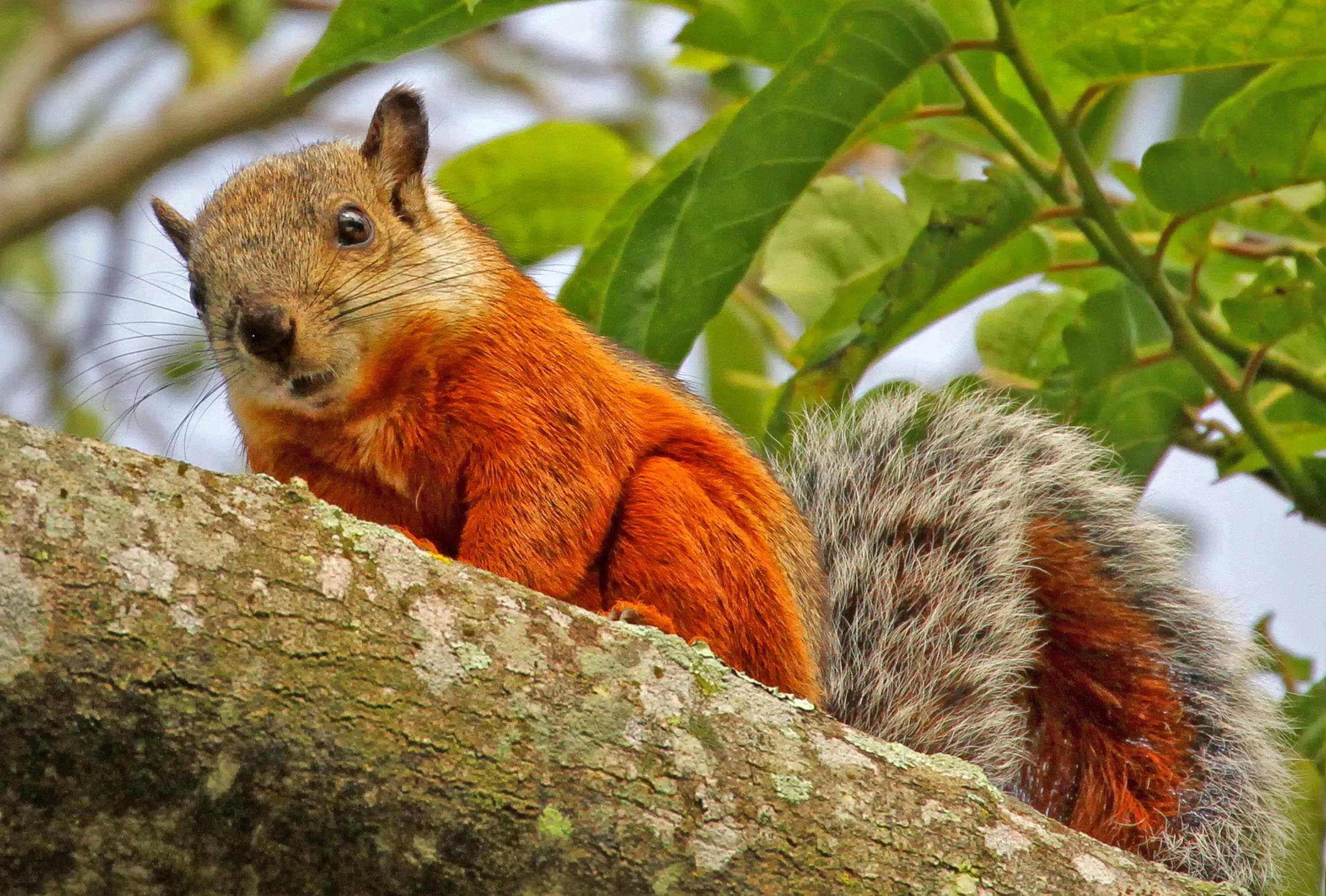 An orange squirrel eats an outdoor breakfast in Costa Rica in October of 2012.