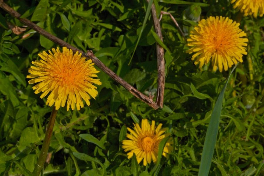 Dandelions can be an asset if you're trying to bring pollinating insects to your yard. They're attractive to foraging honeybees because they bloom at a time when little else is flowering.