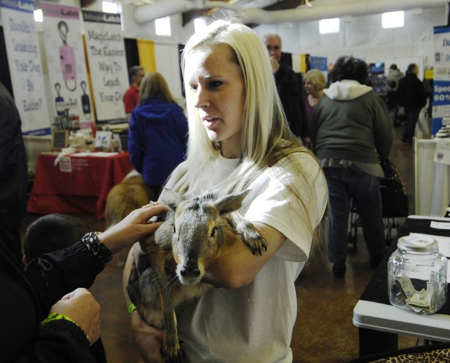 Erin Vest holds a Patagonian Cavy, a 13-pound rodent from South America, Sunday during the Chicago Pet Show at the Kane County Fairgrounds. Erin is the founder of The ERIN (Exotic Rescues In Need) Foundation, based in Kane County. They rescue exotic pets from owners who can't handle or don't want them anymore.
